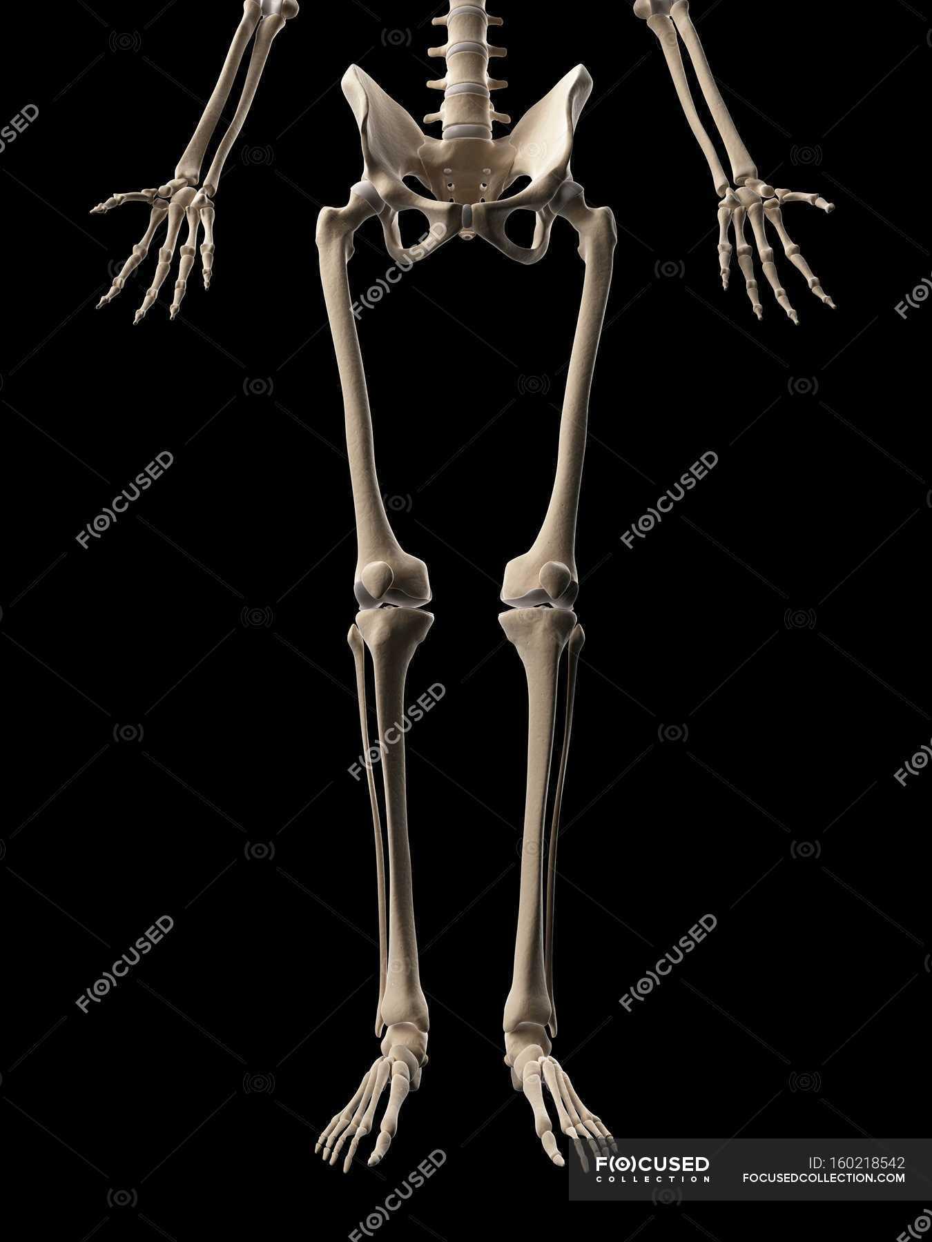 Human Leg Bones Stock Photo 160218542