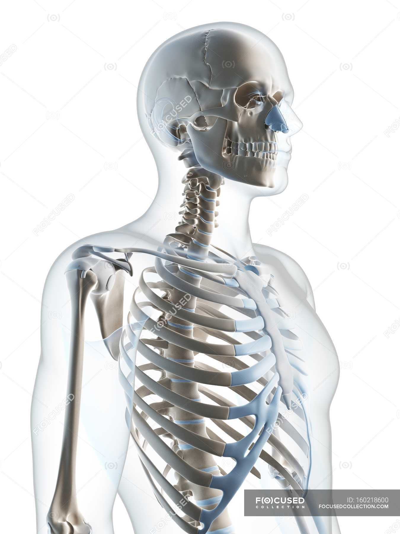 Upper Body Skeletal System White Background Three Dimensional