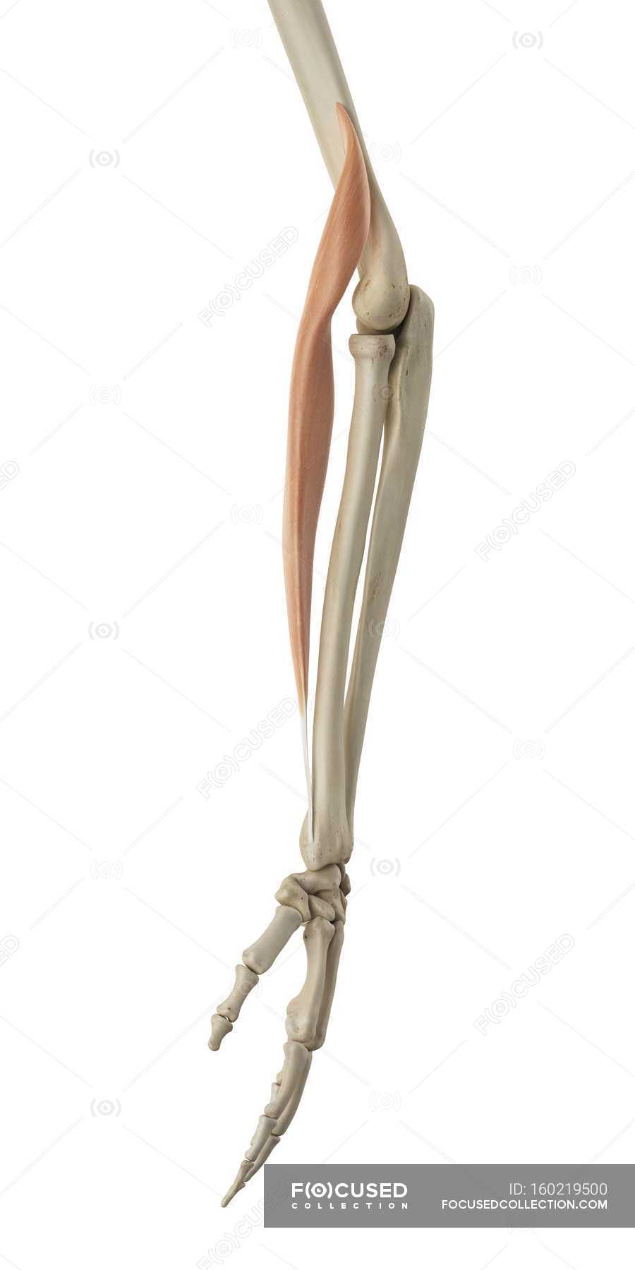 Structural anatomy of lower arm — Stock Photo | #160219500