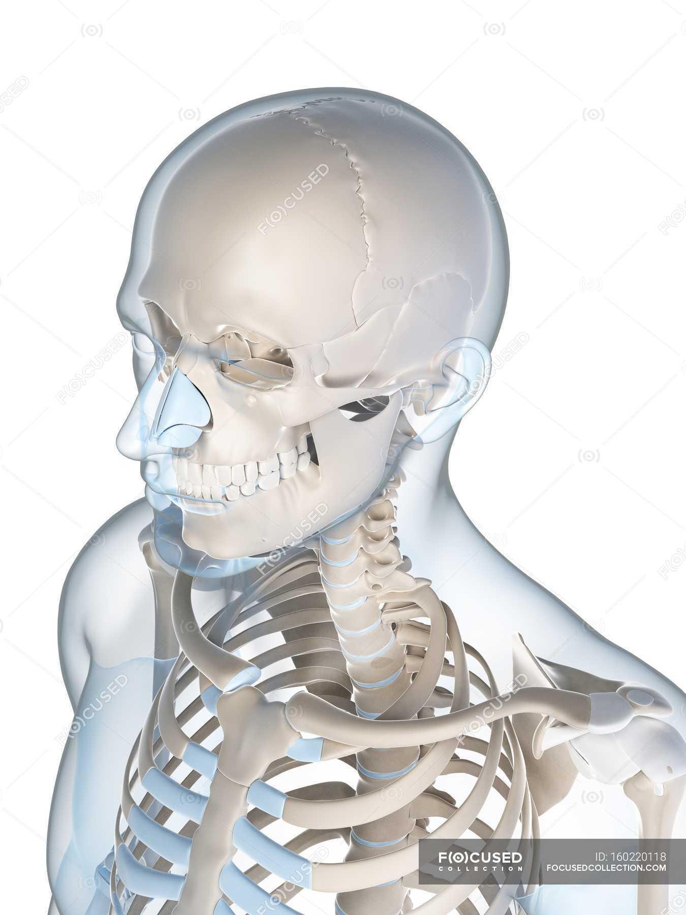 Upper Body And Skull Skeletal System White Background Plain