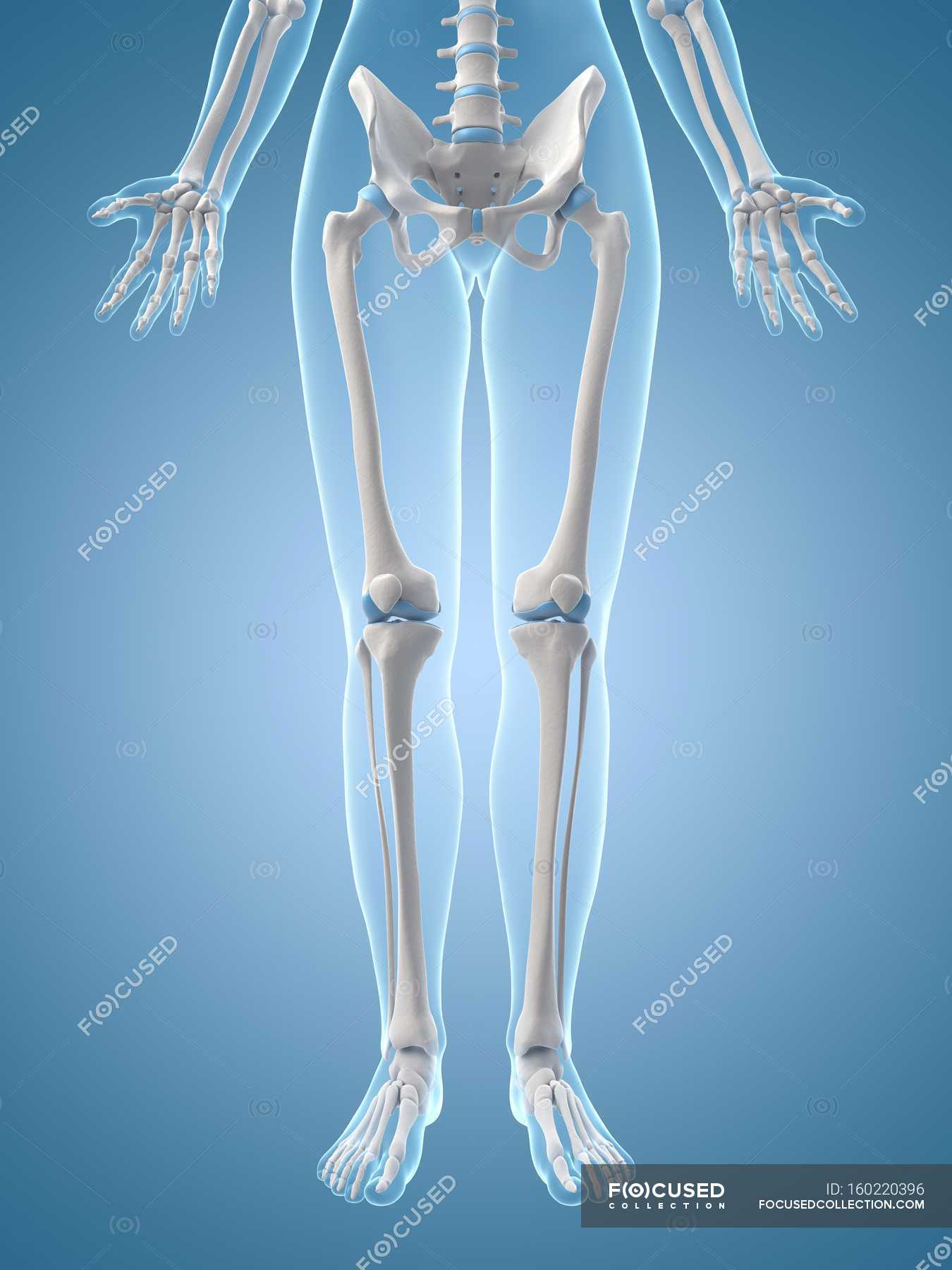 Human Leg Bones And Joints Front View Blue Background Stock