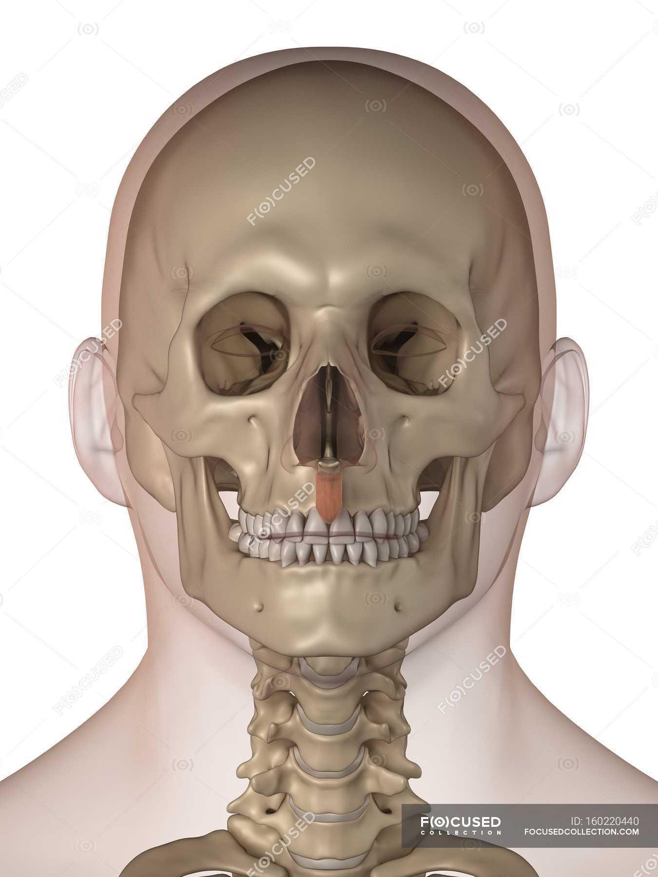 Gesichts-Knochen und Zähne — Stockfoto | #160220440