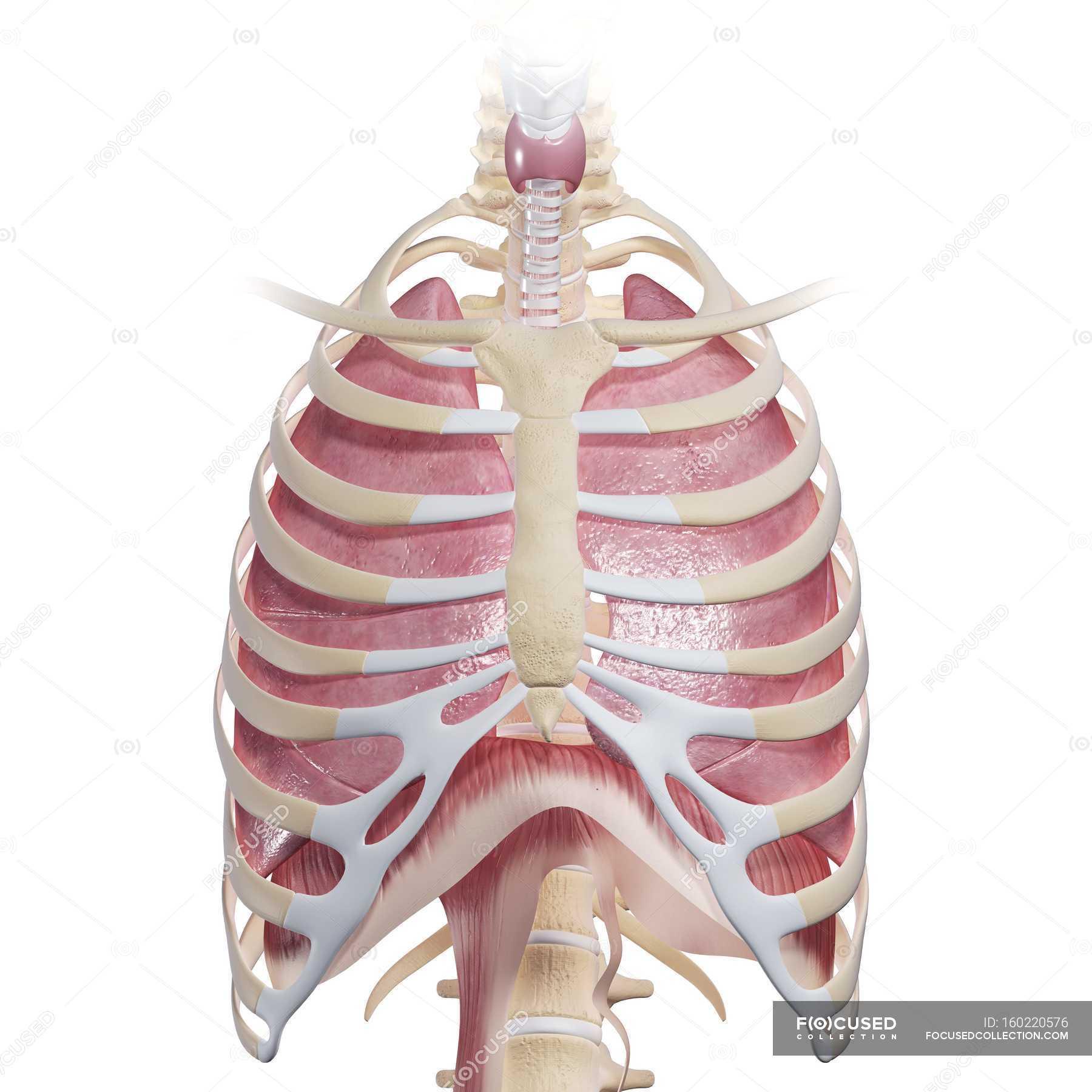 Human Chest Anatomy Close Up Respiratory System Stock Photo