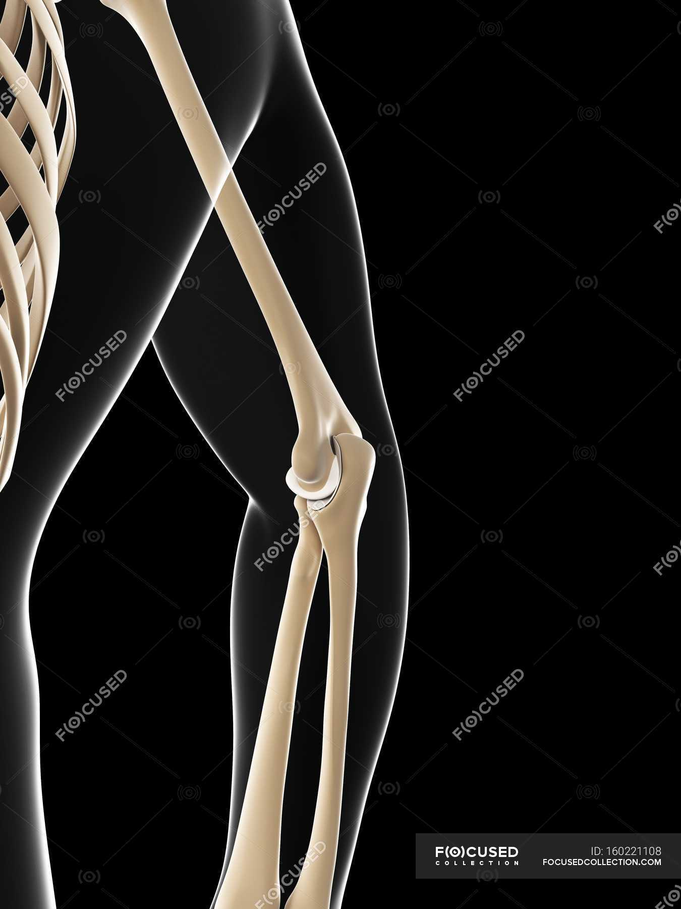 Elbow Joint Anatomy Side View Human Arm Stock Photo 160221108