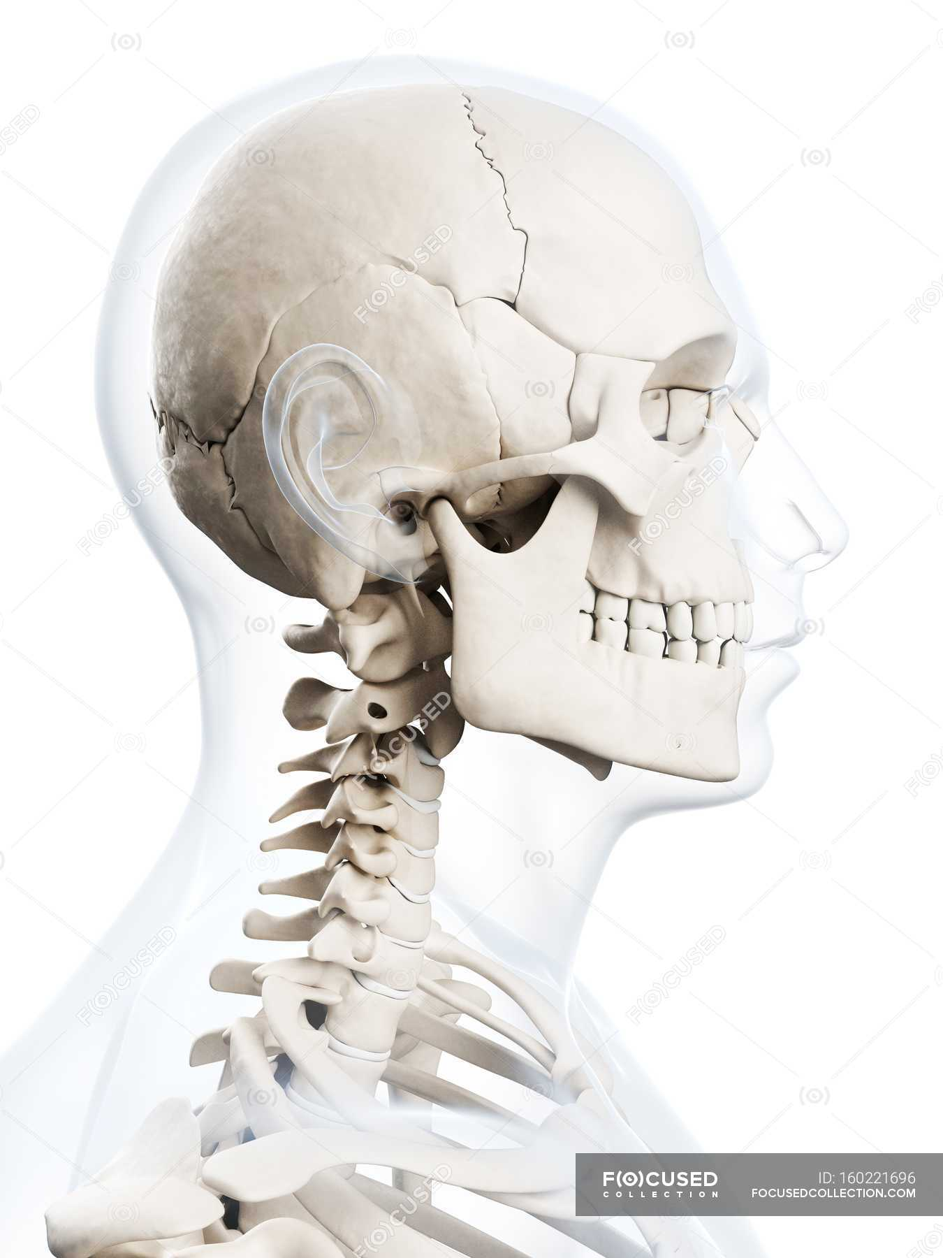 Upper Body And Skull Skeletal System White Background Side View