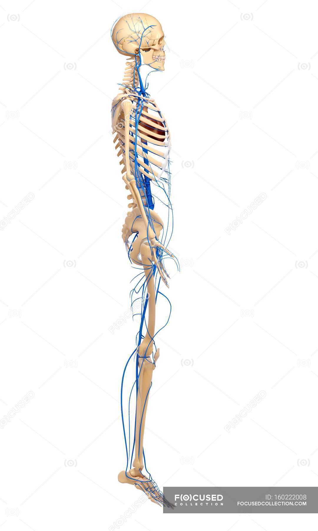 Erfreut Herz Kreislauf Organe Bilder - Anatomie Ideen - finotti.info