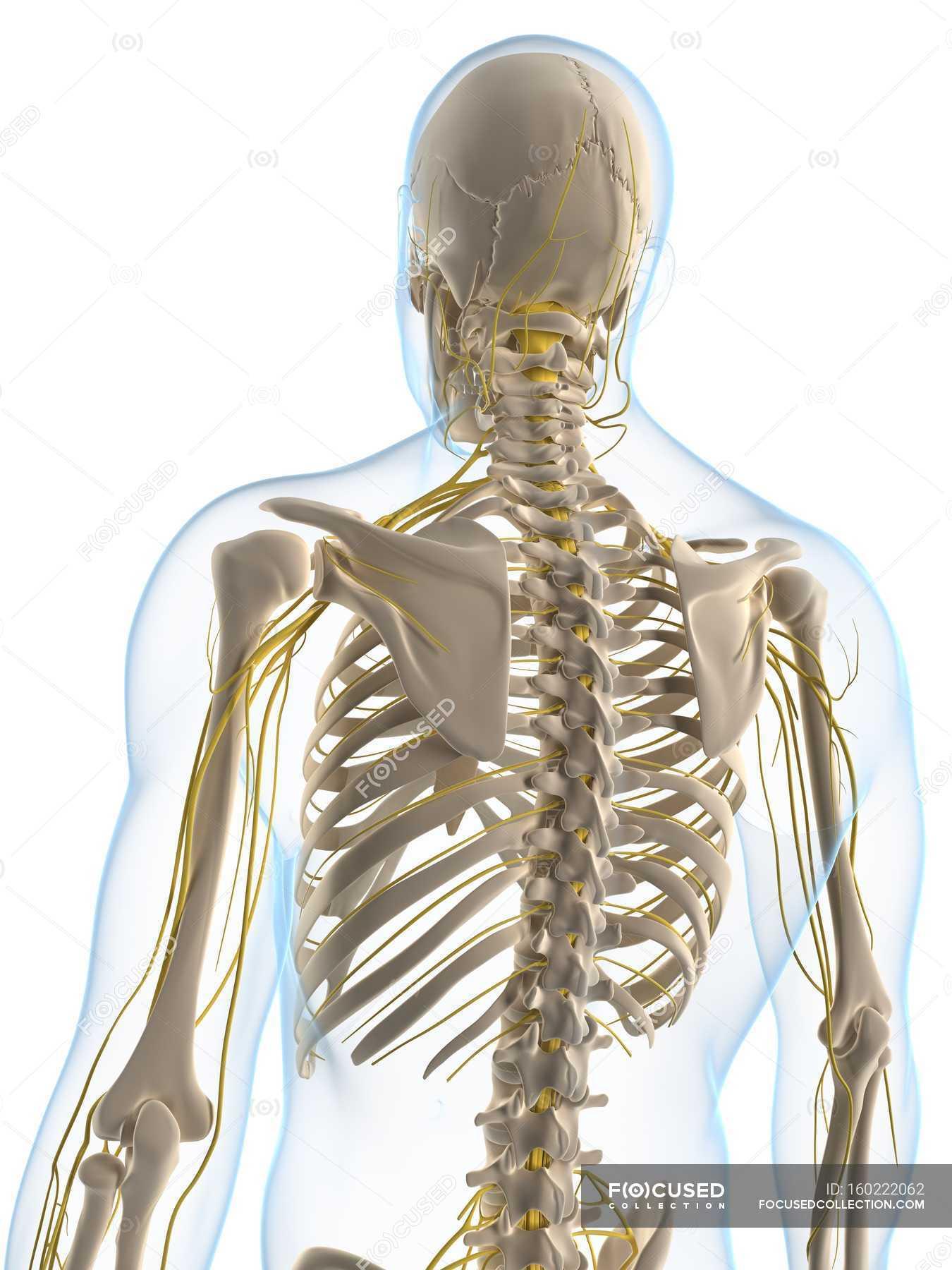 Menschliche Nervensystem — Stockfoto | #160222062