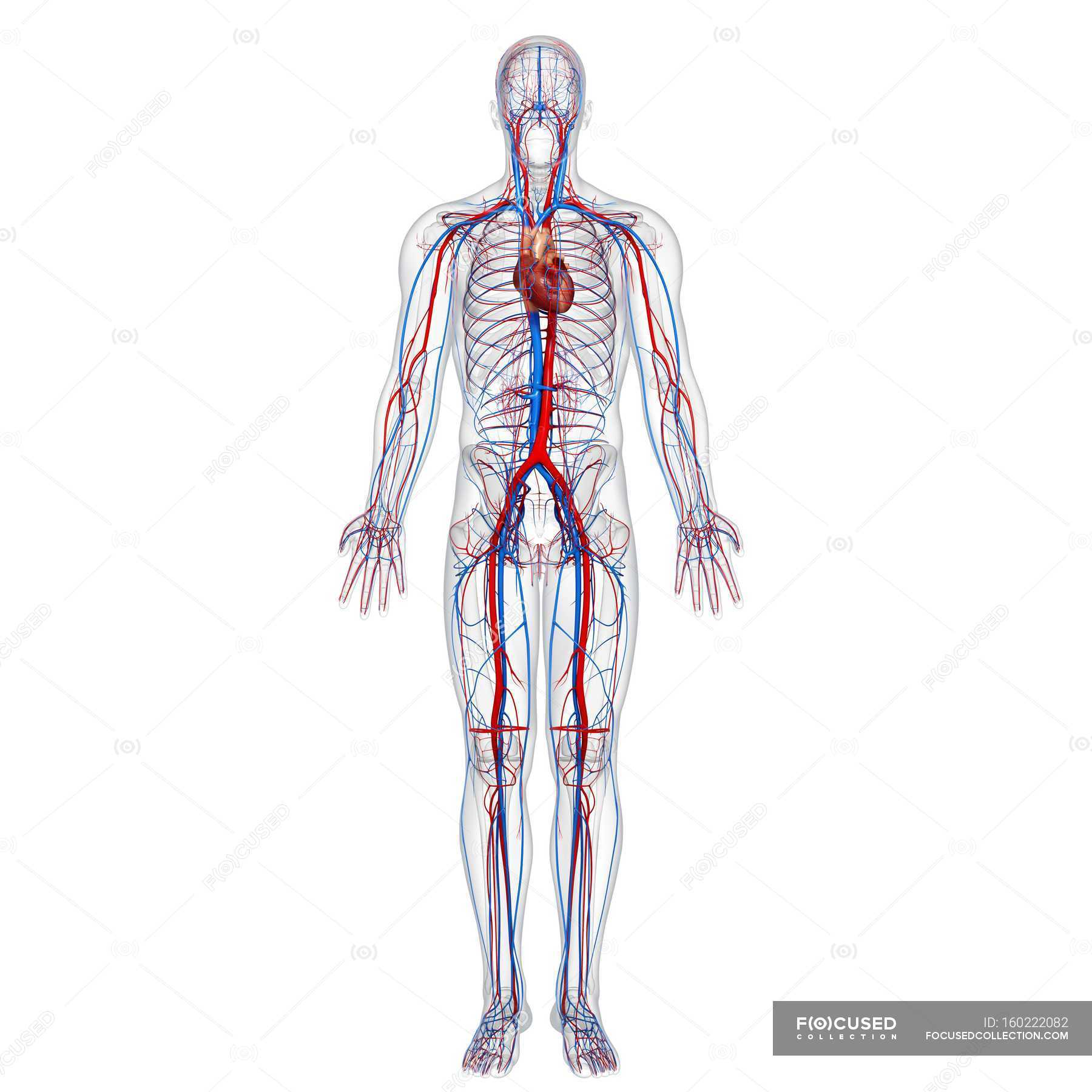Human Cardiovascular System White Background Front View Stock