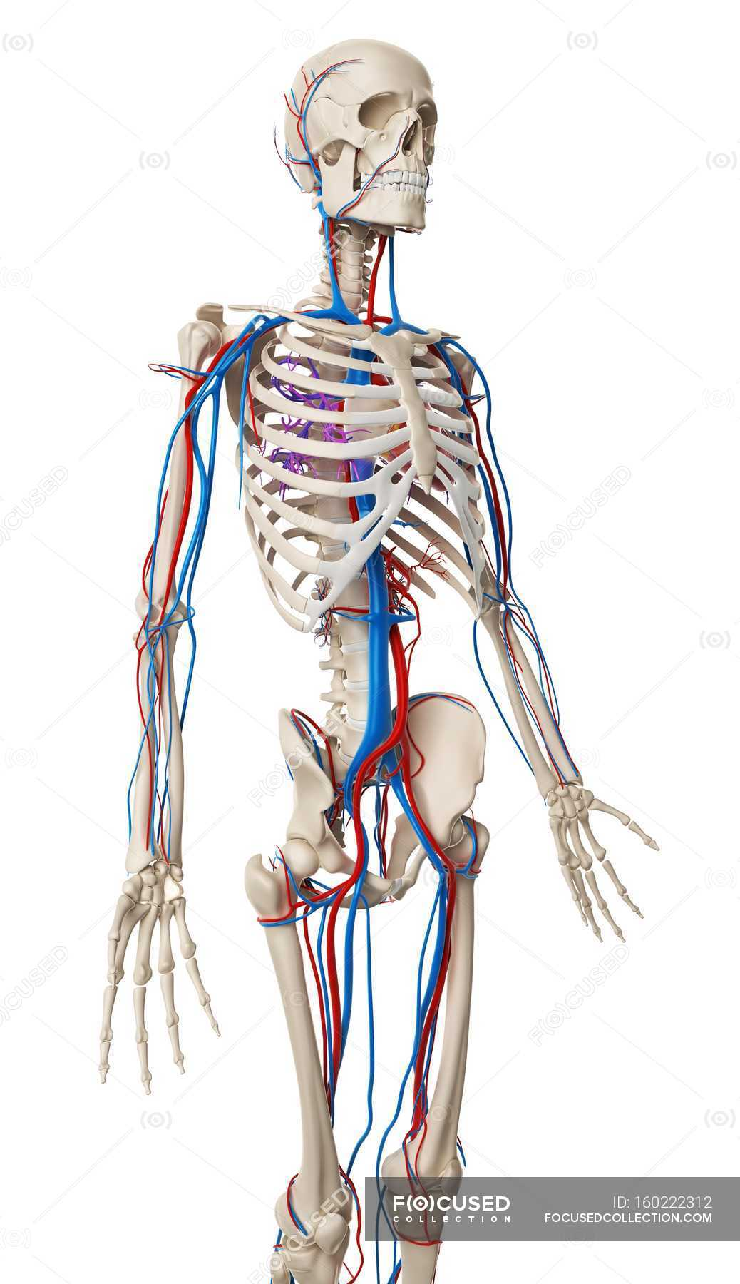 Vascular System And Skeletal Structure Stock Photo 160222312