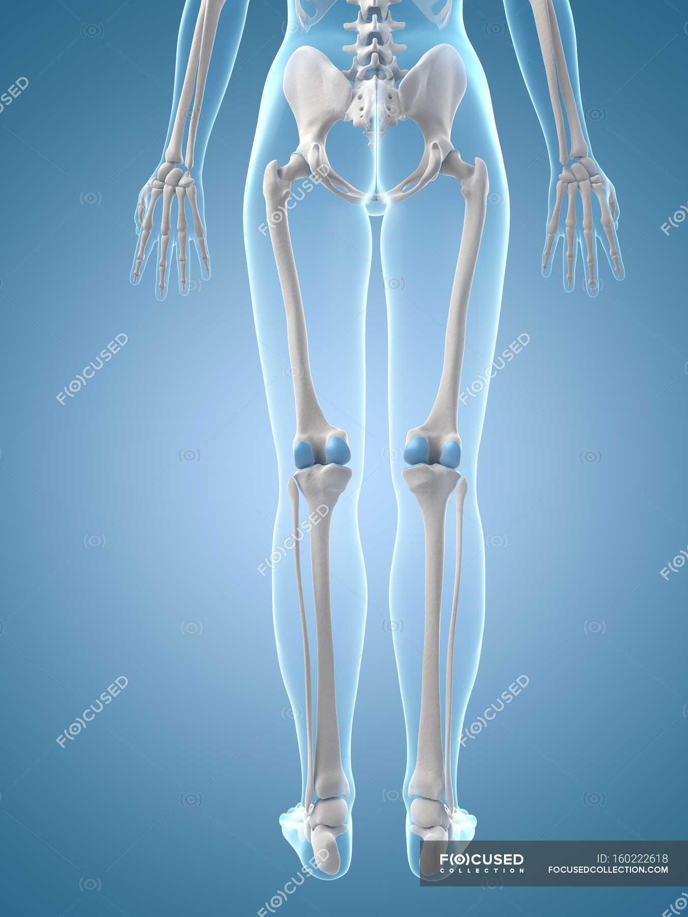 Leg Bones Anatomy Rear View Blue Background Stock Photo