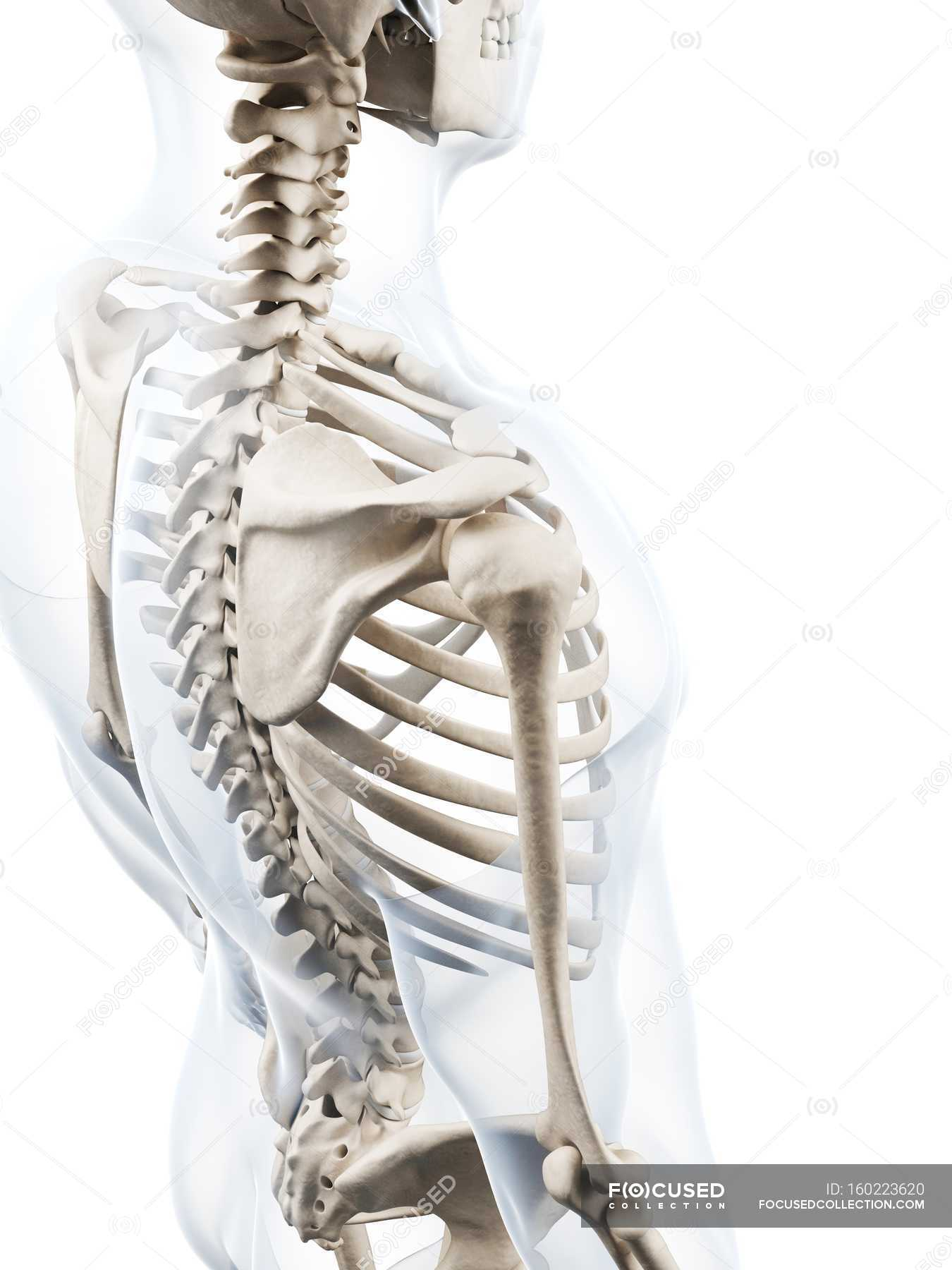 Shoulder girdle bone structure — Stock Photo | #160223620