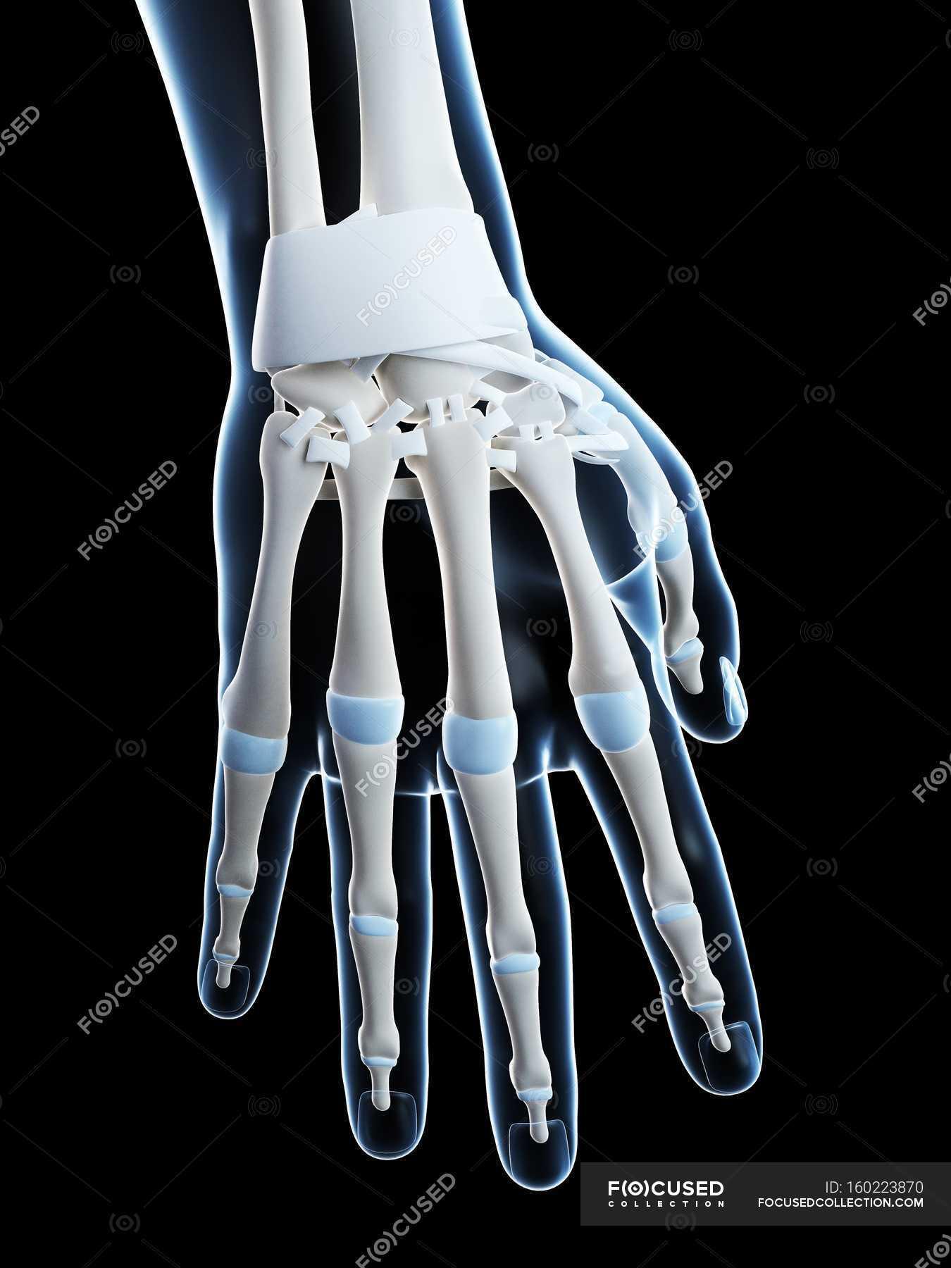 Human Hand Bones Anatomy Black Background No One Stock Photo