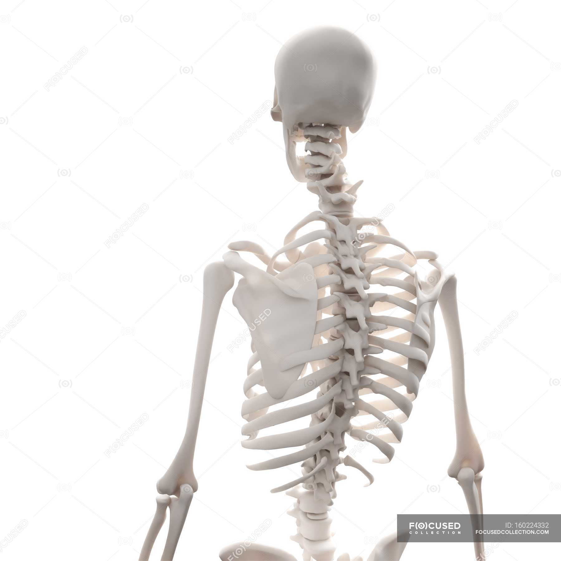 Normal Human Skeleton Stock Photo 160224332