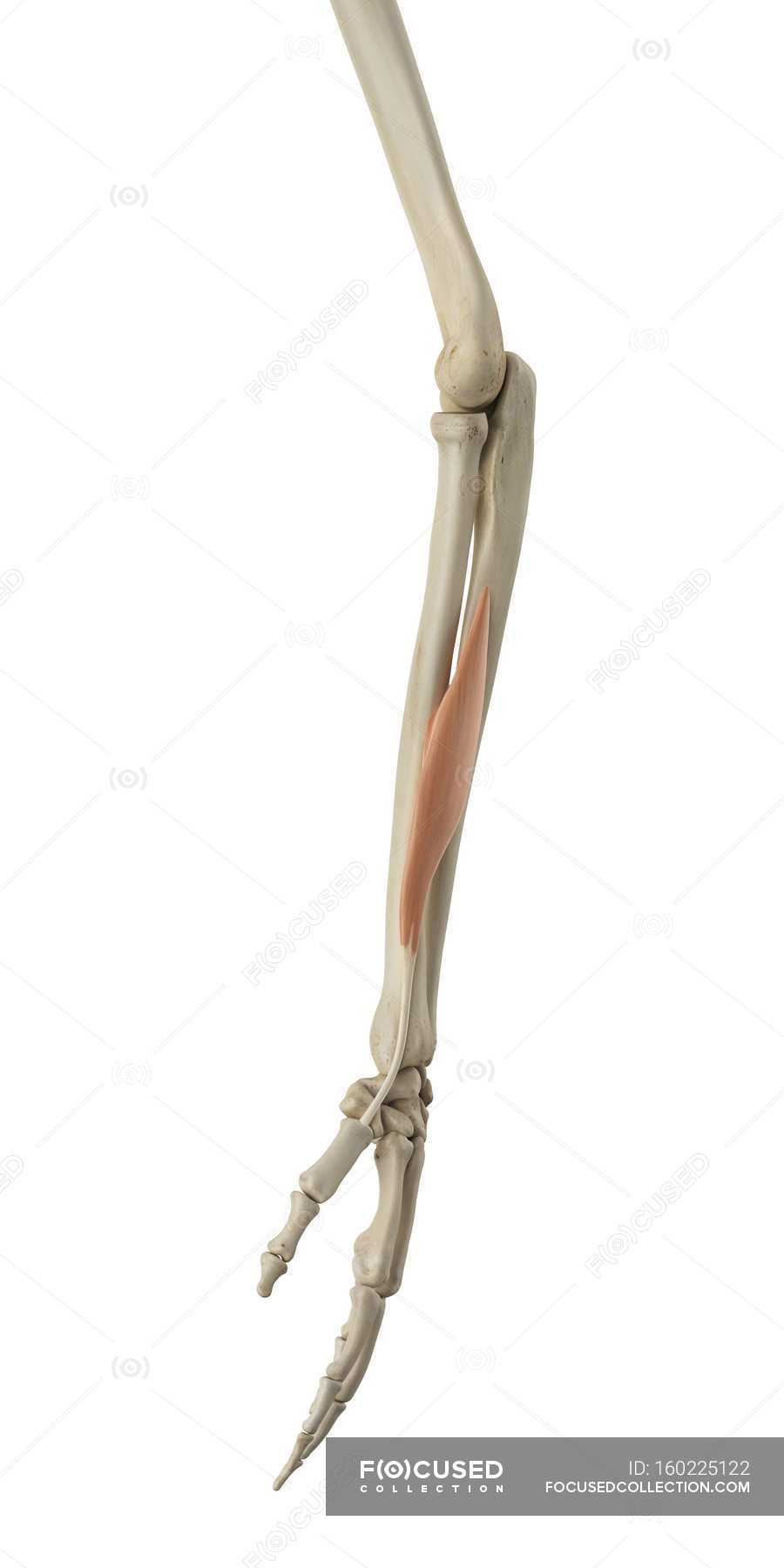 Lower Arm Bone Structure And Functional Anatomy White Background