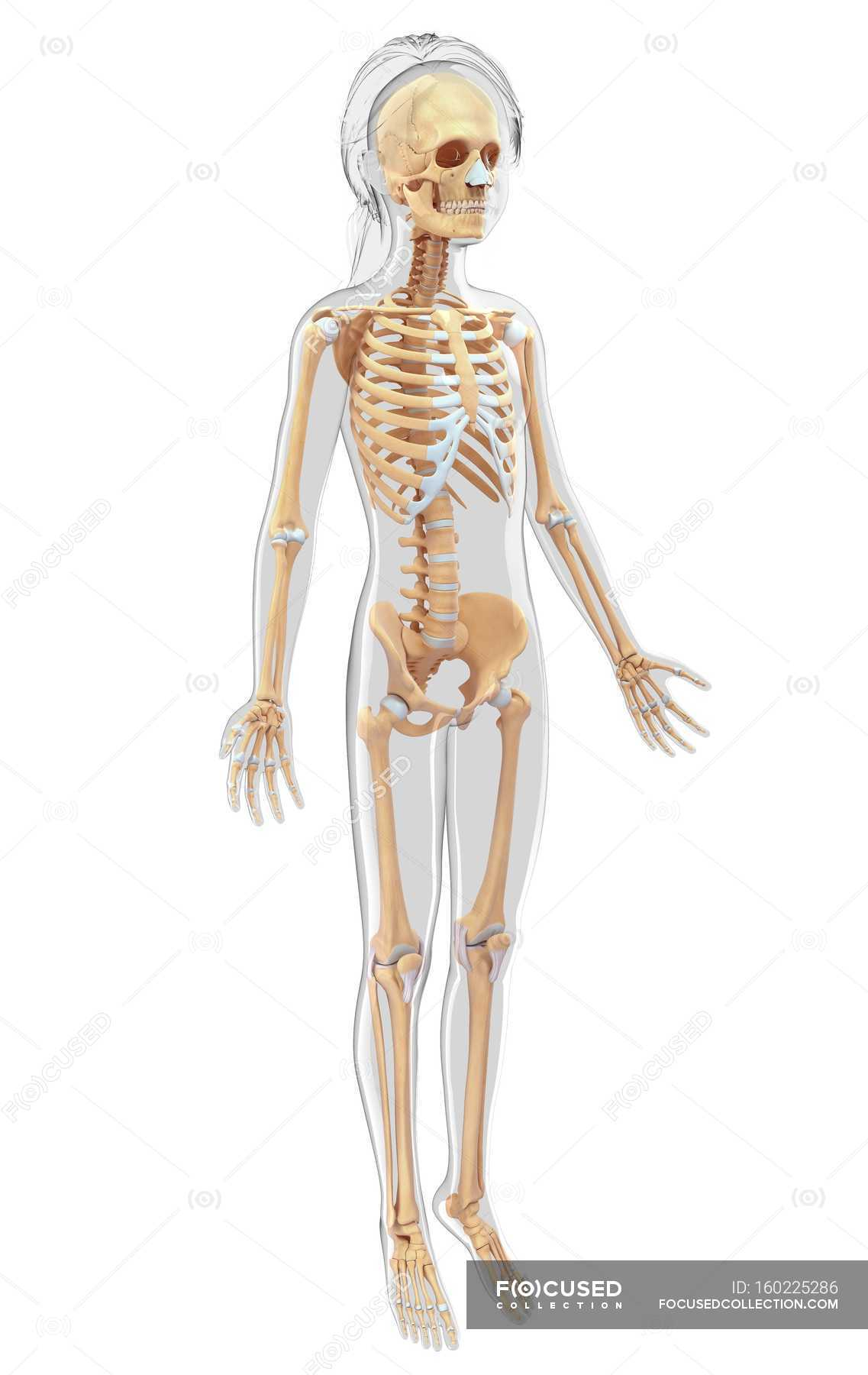 Skeletal System And Anatomy Of Adult Human White Background Plain