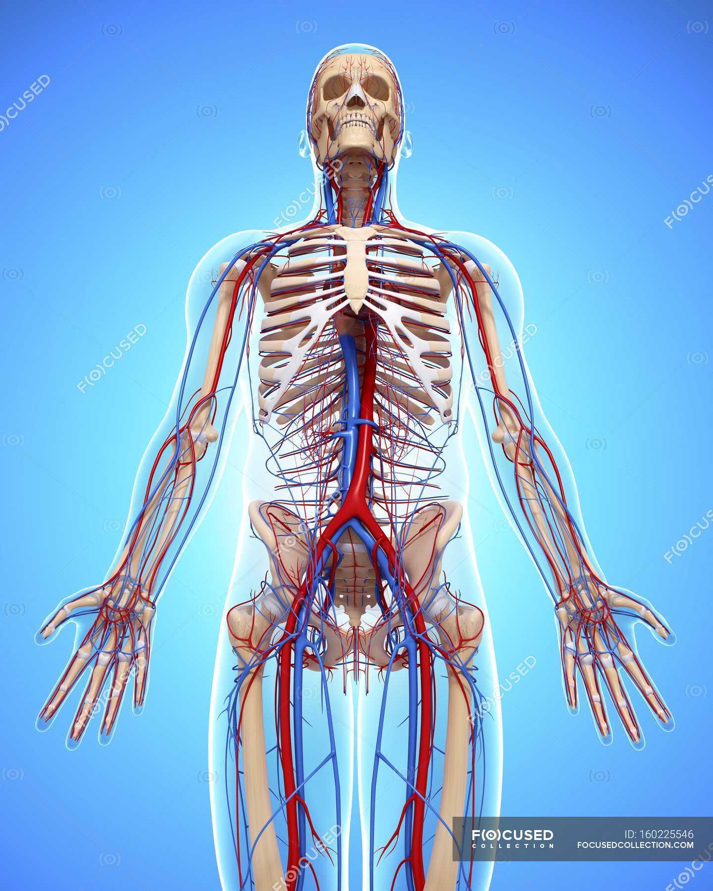 Menschlichen Herz-Kreislauf-system — Stockfoto | #160225546