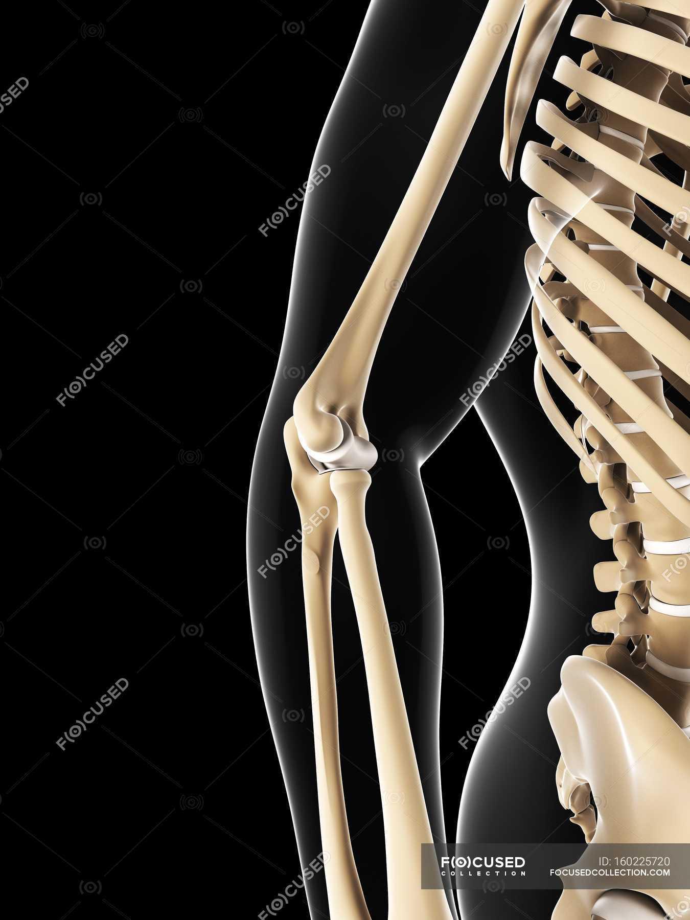 Elbow Joint Anatomy Stock Photo 160225720