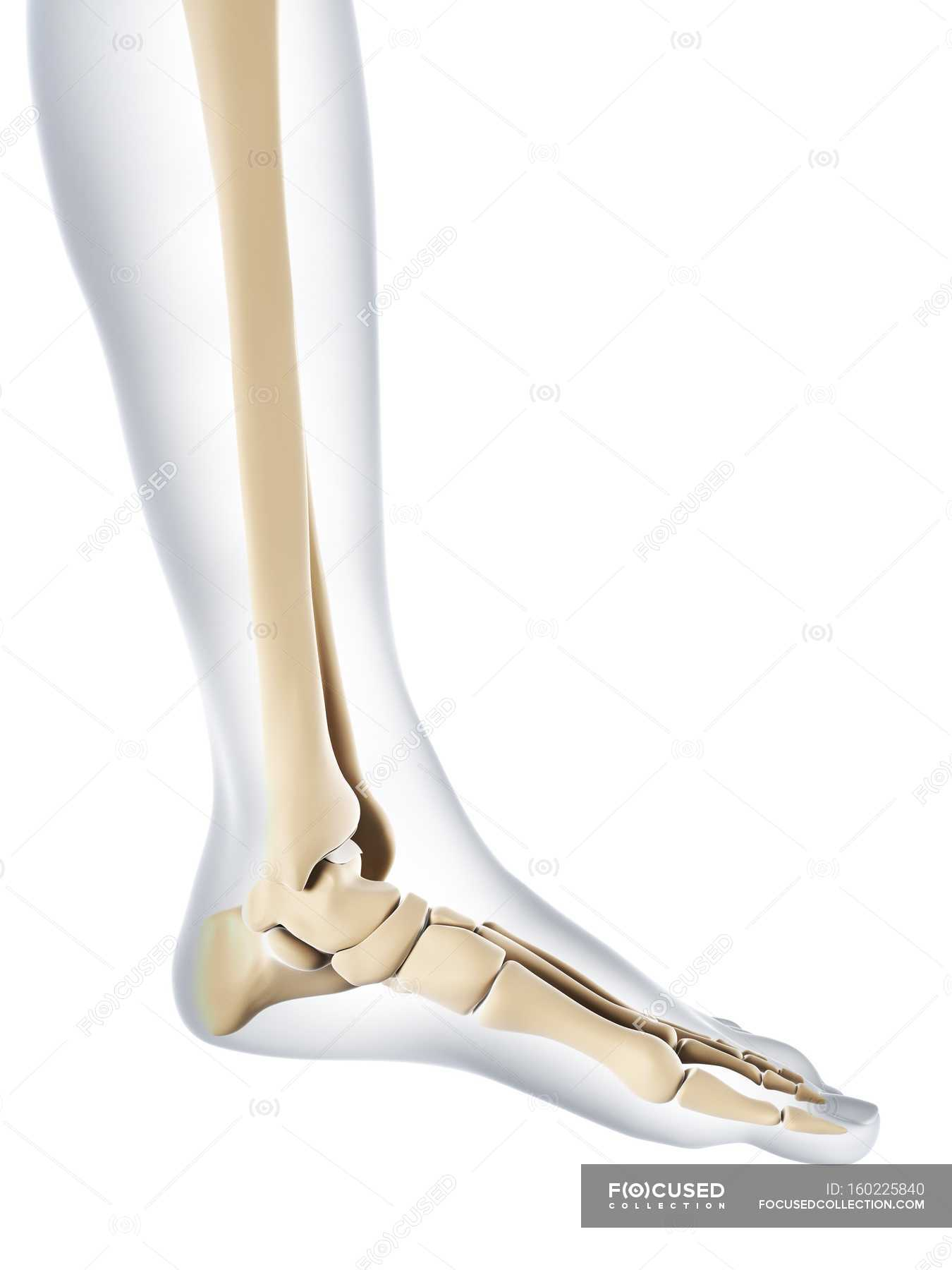 Normal foot bones anatomy — Stock Photo | #160225840