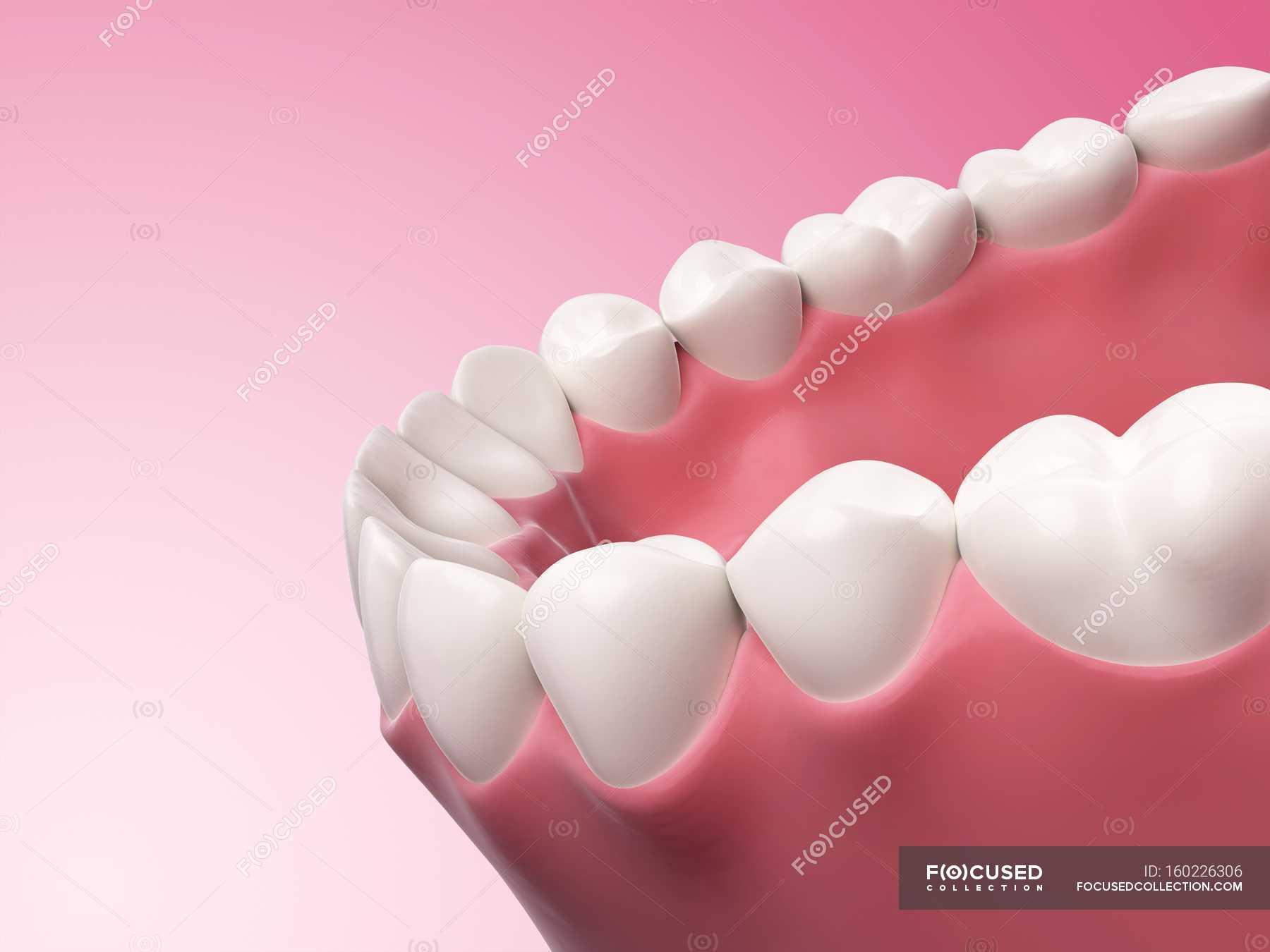 Human Teeth Anatomy Pink Background Dental Care Stock Photo