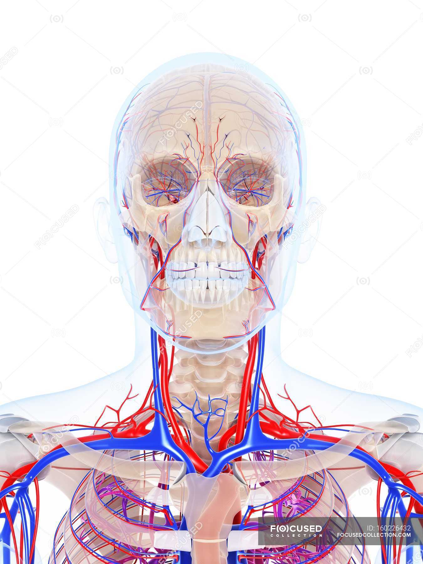Male vascular system — Stock Photo | #160226432