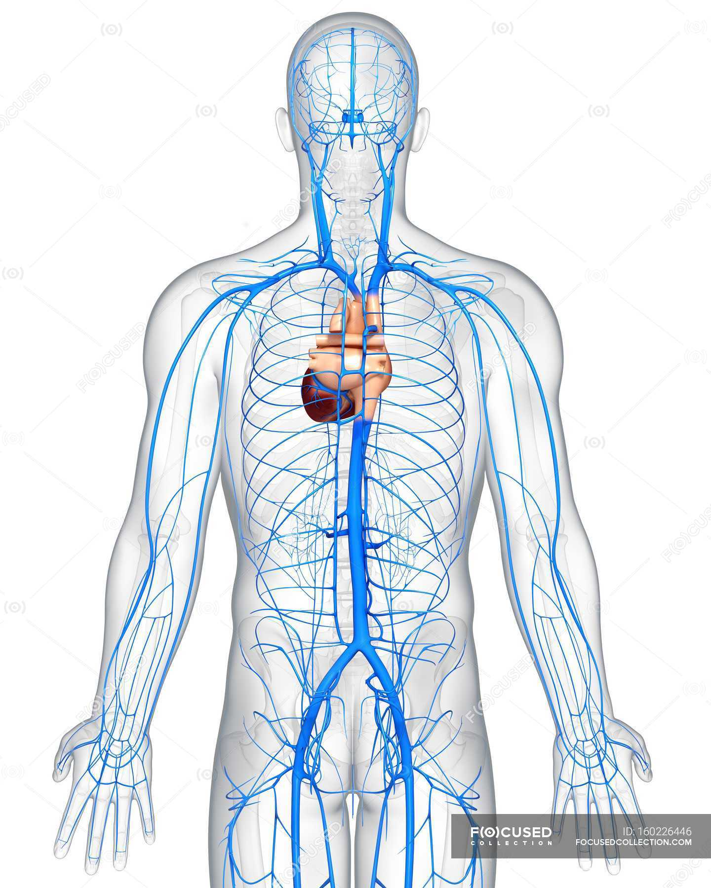 Human Veins Anatomy Stock Photo 160226446