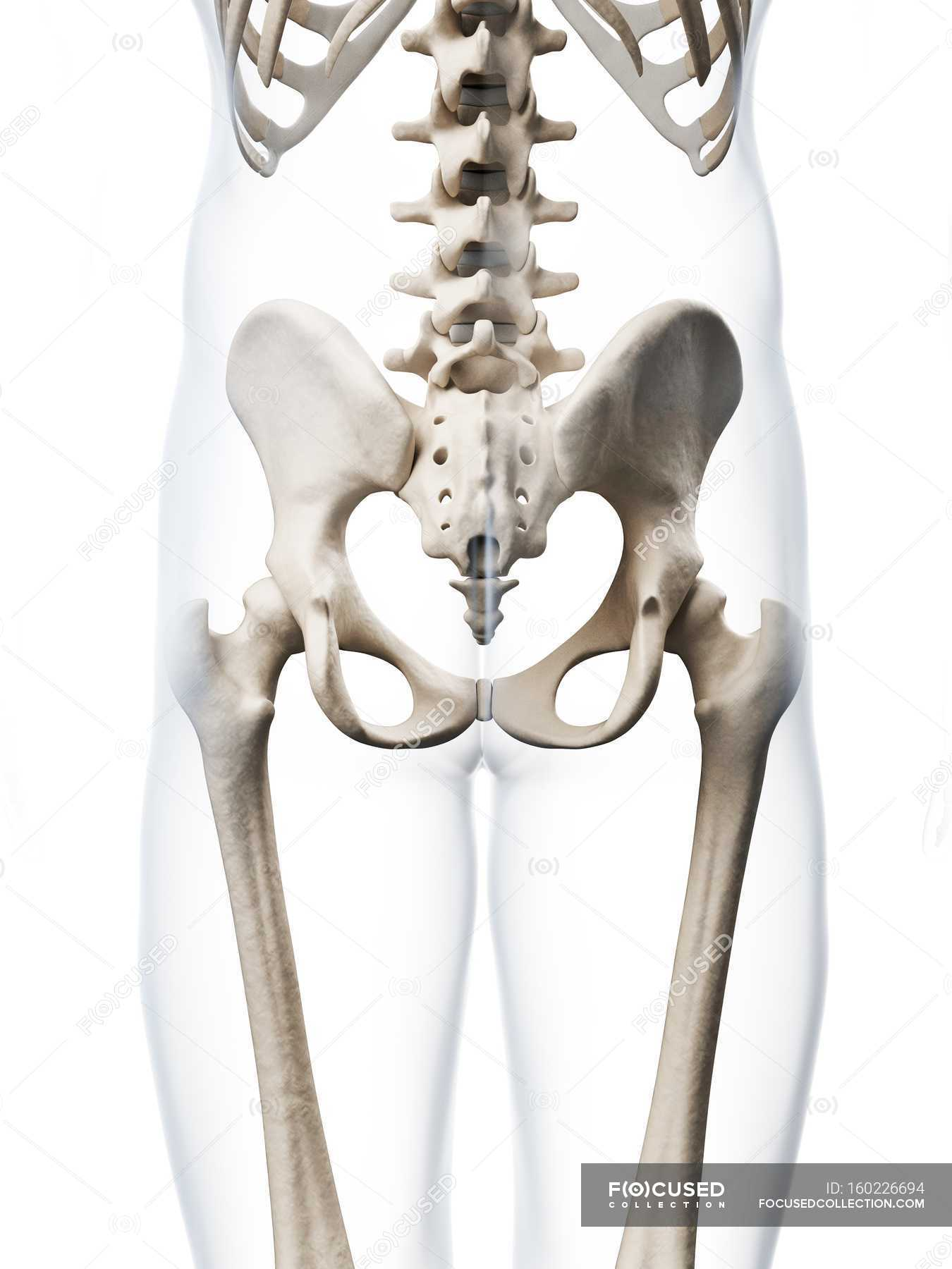 Structural Anatomy Of Human Pelvis Stock Photo 160226694