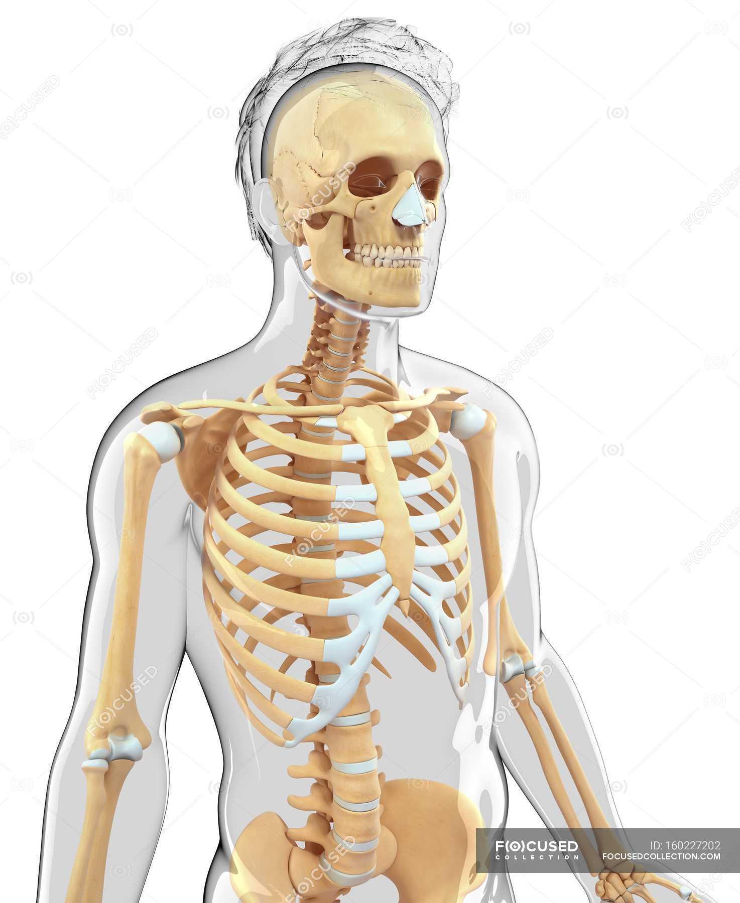 Skelett-Systems und Knorpel von erwachsenen Menschen — Stockfoto ...