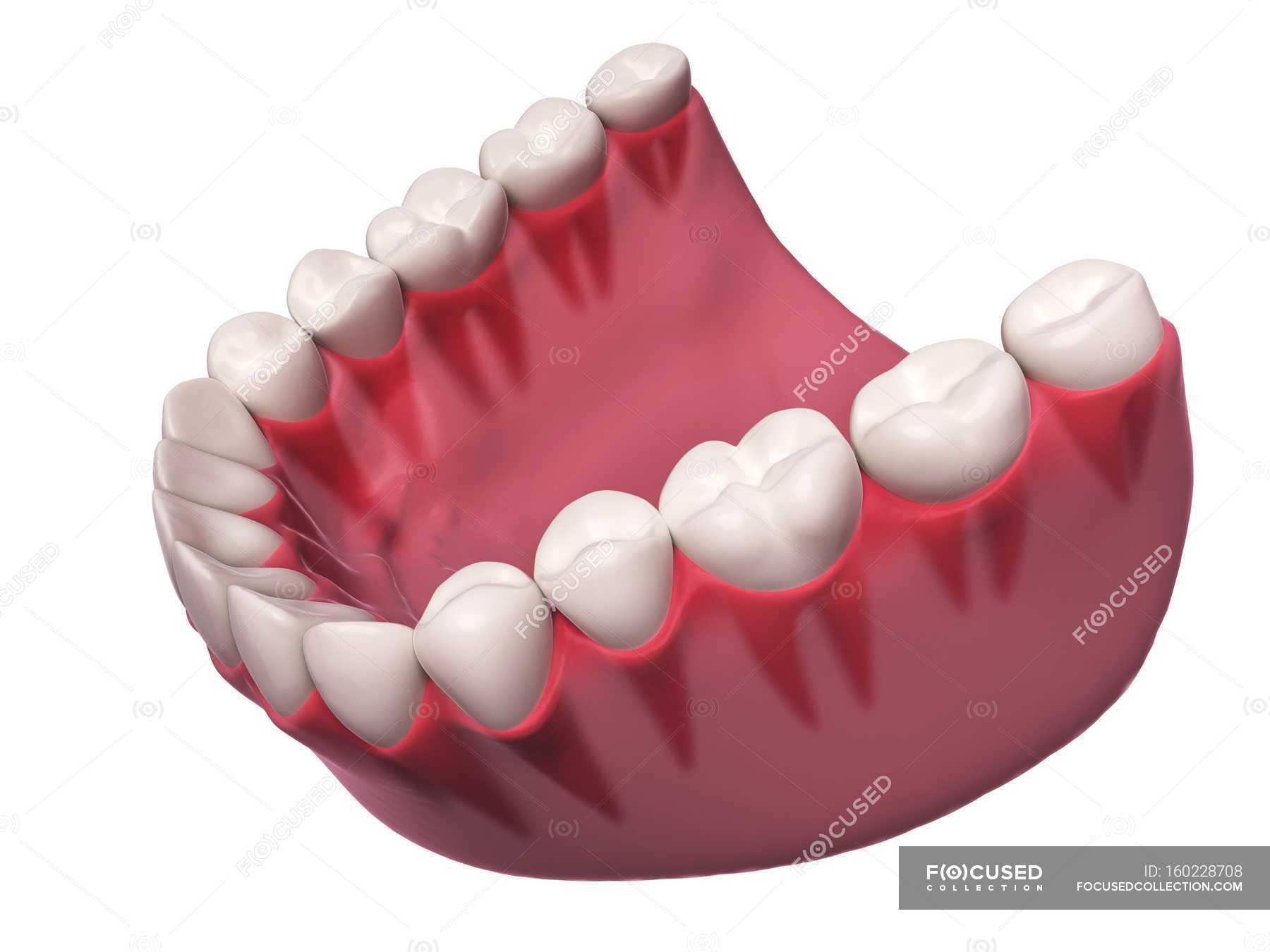 Human Teeth Anatomy Stock Photo 160228708