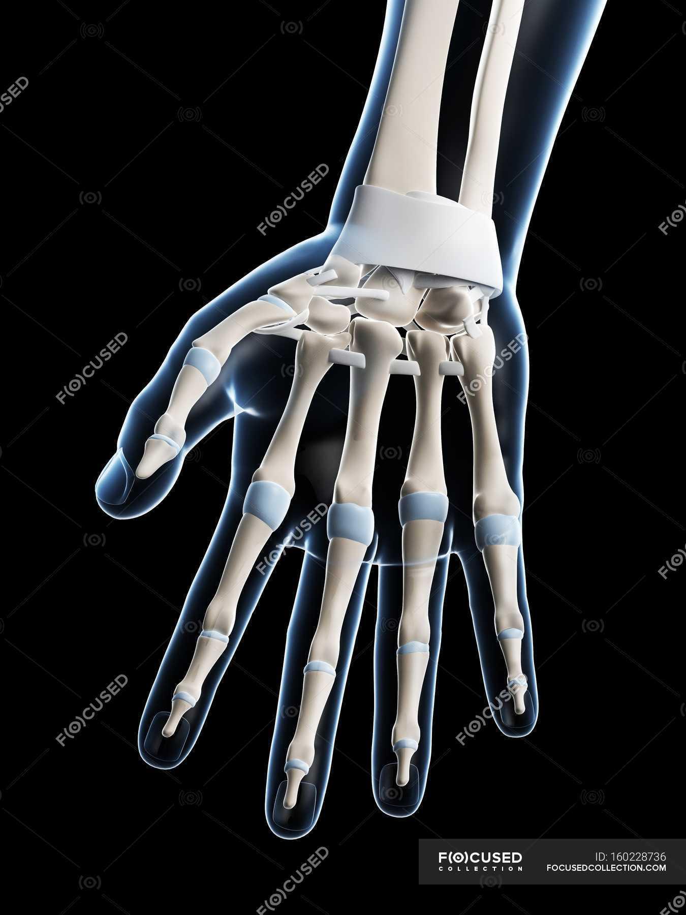 Human hand bones anatomy — Stock Photo | #160228736