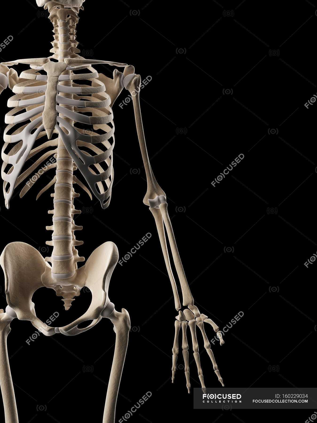 Menschliches Skelett-Systems und strukturellen Anatomie — Stockfoto ...
