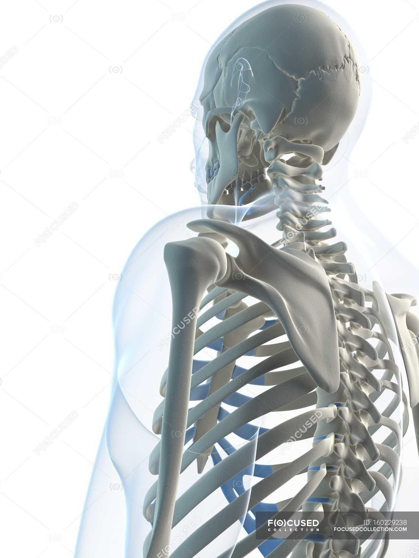 Shoulder Blades On Male Skeleton White Background Rear View