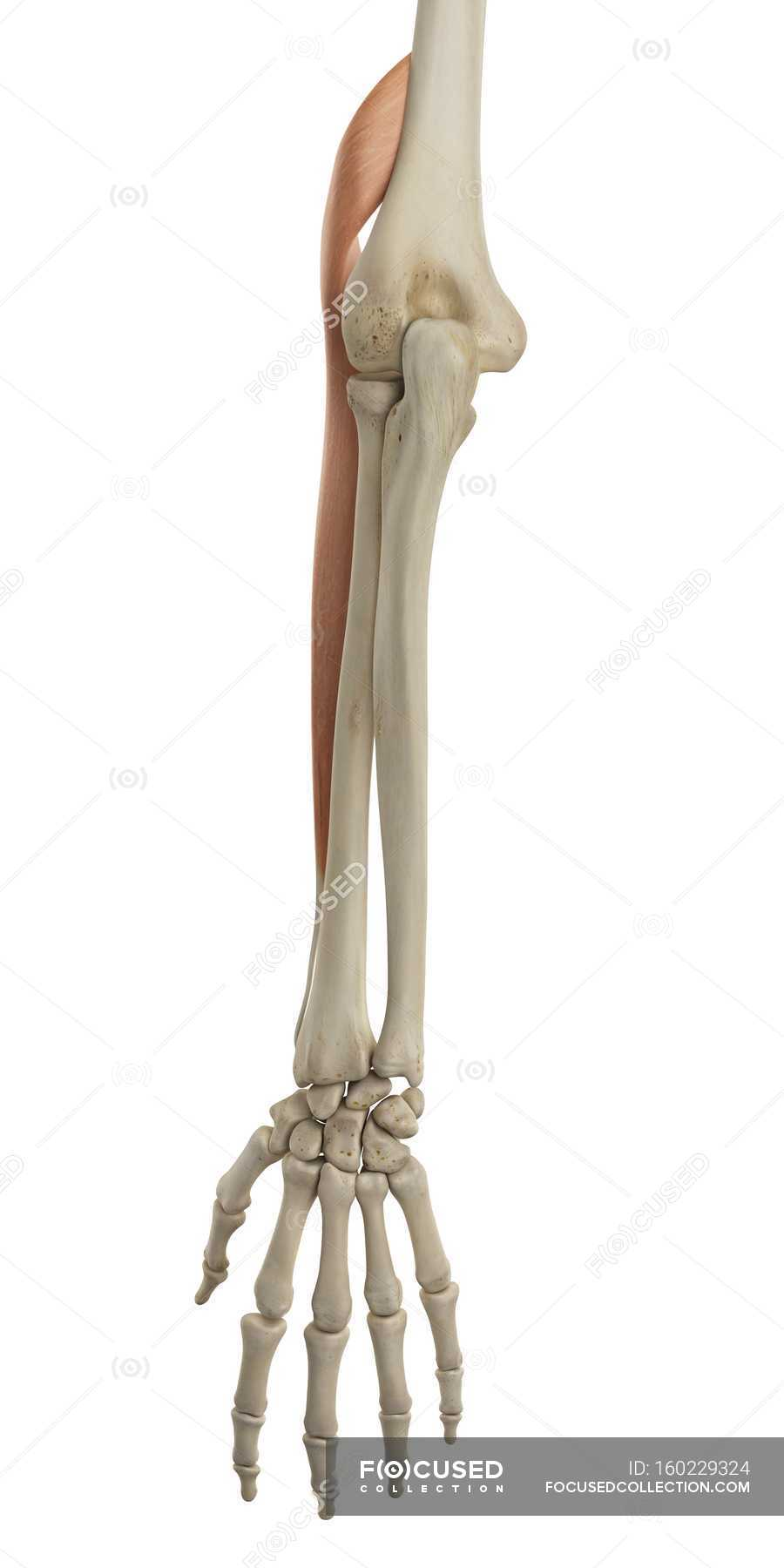 Lower Arm Bone Structure And Functional Anatomy Stock Photo