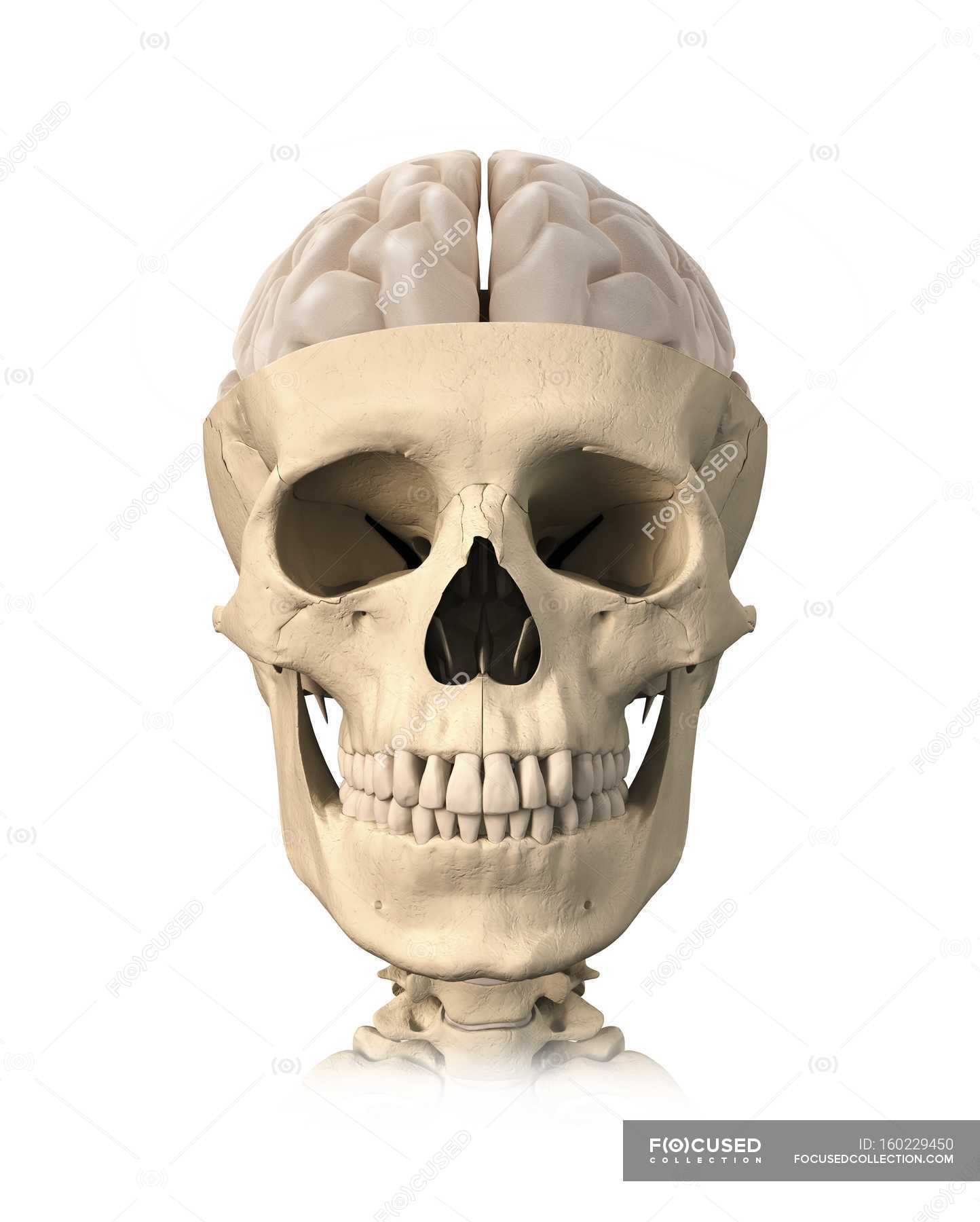 Human skull and brain anatomy — Stock Photo | #160229450