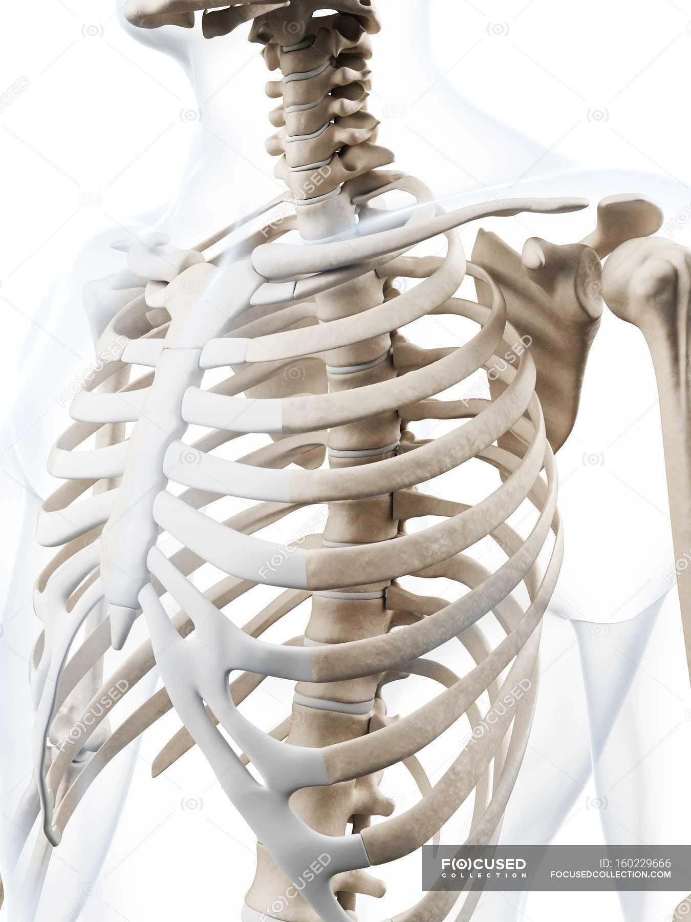 Human Rib Cage Anatomy Stock Photo 160229666