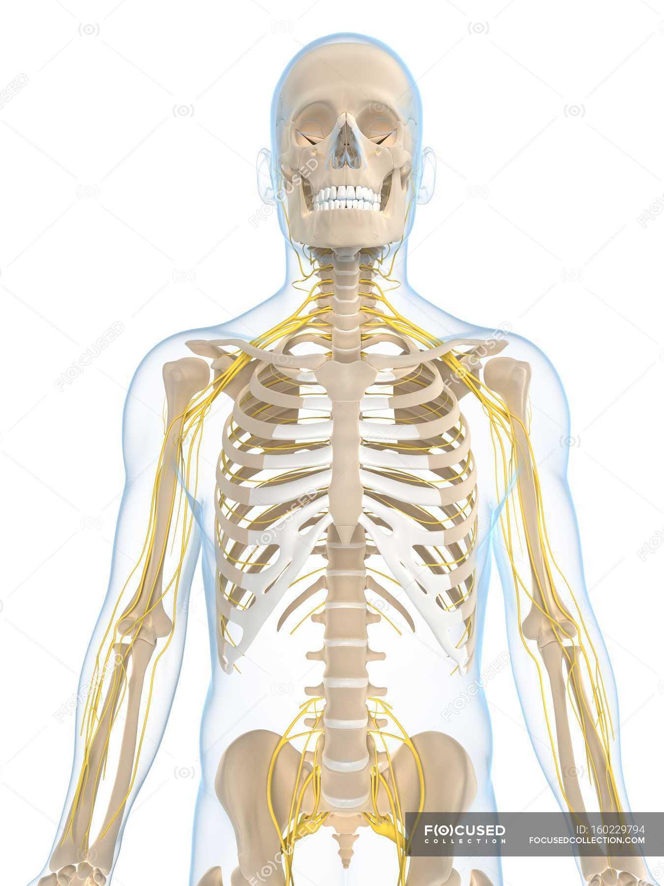 Menschliche Nervensystem — Stockfoto | #160229794