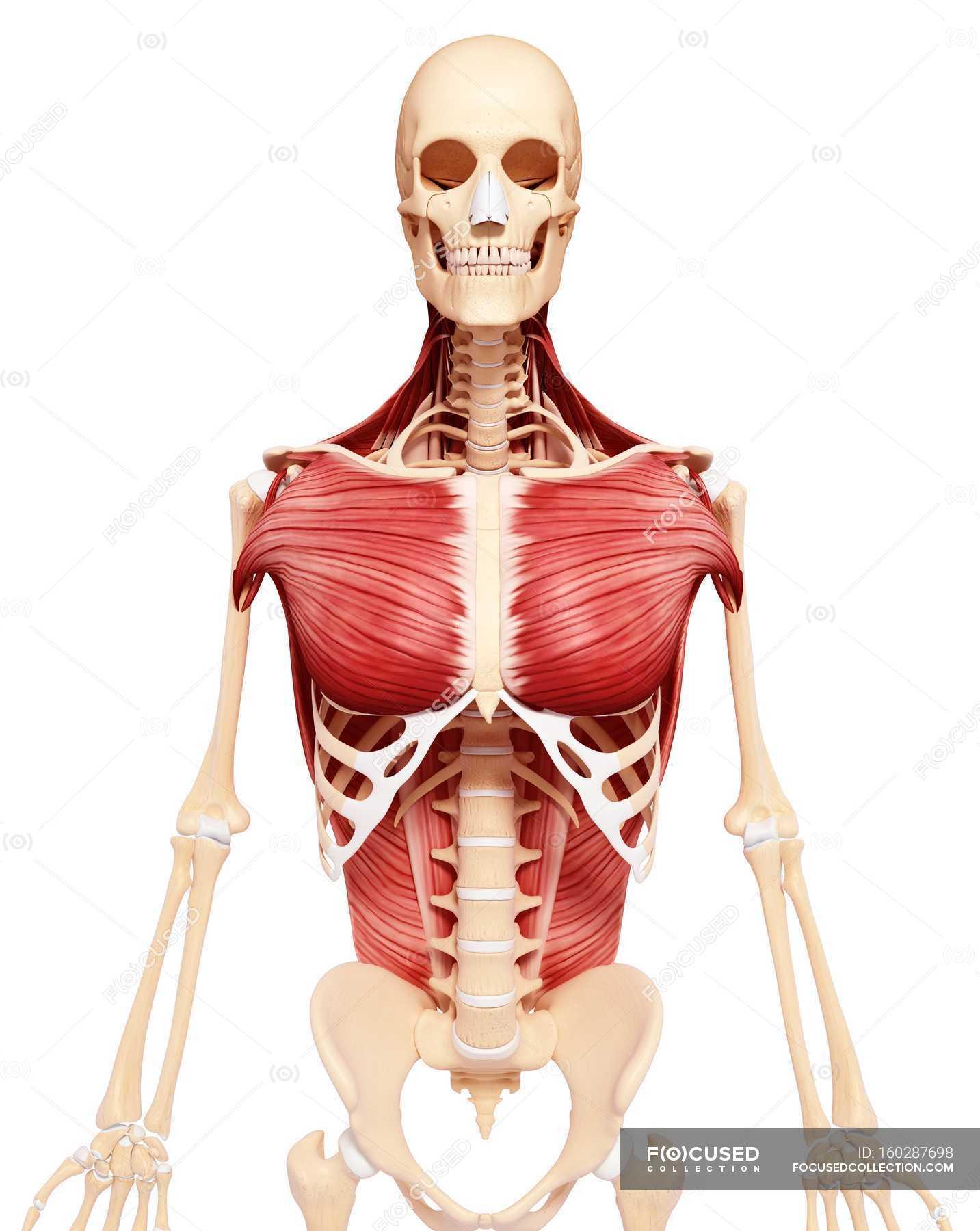 Brust und Rücken Muskulatur — Stockfoto | #160287698