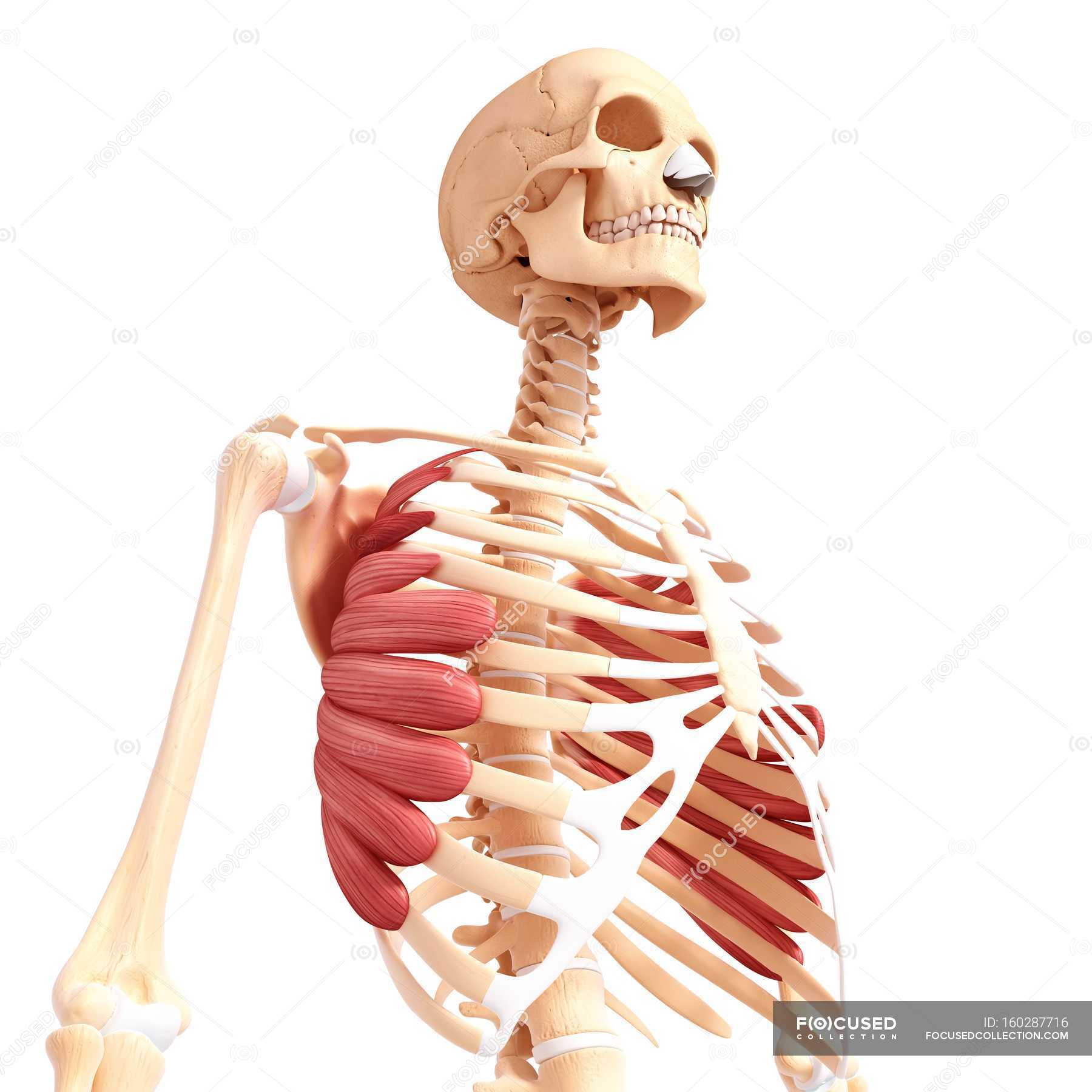 Serratus anterior musculature — Stock Photo | #160287716
