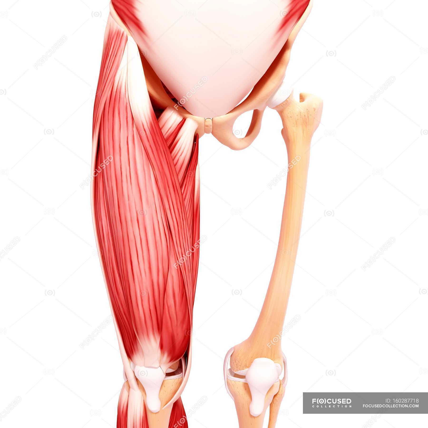 Menschliches Bein-Muskulatur — Stockfoto | #160287718