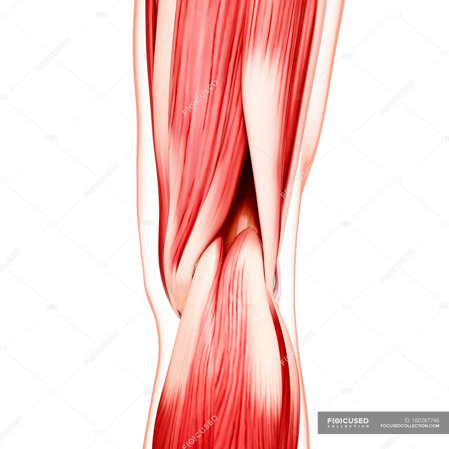 Menschliches Bein-Muskulatur — Stockfoto | #160287746