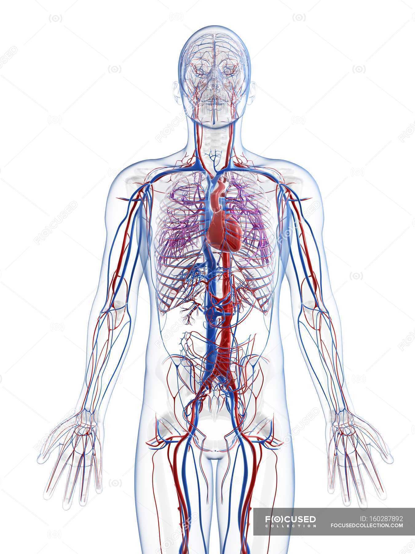 Human Vascular System White Background Front View Stock Photo