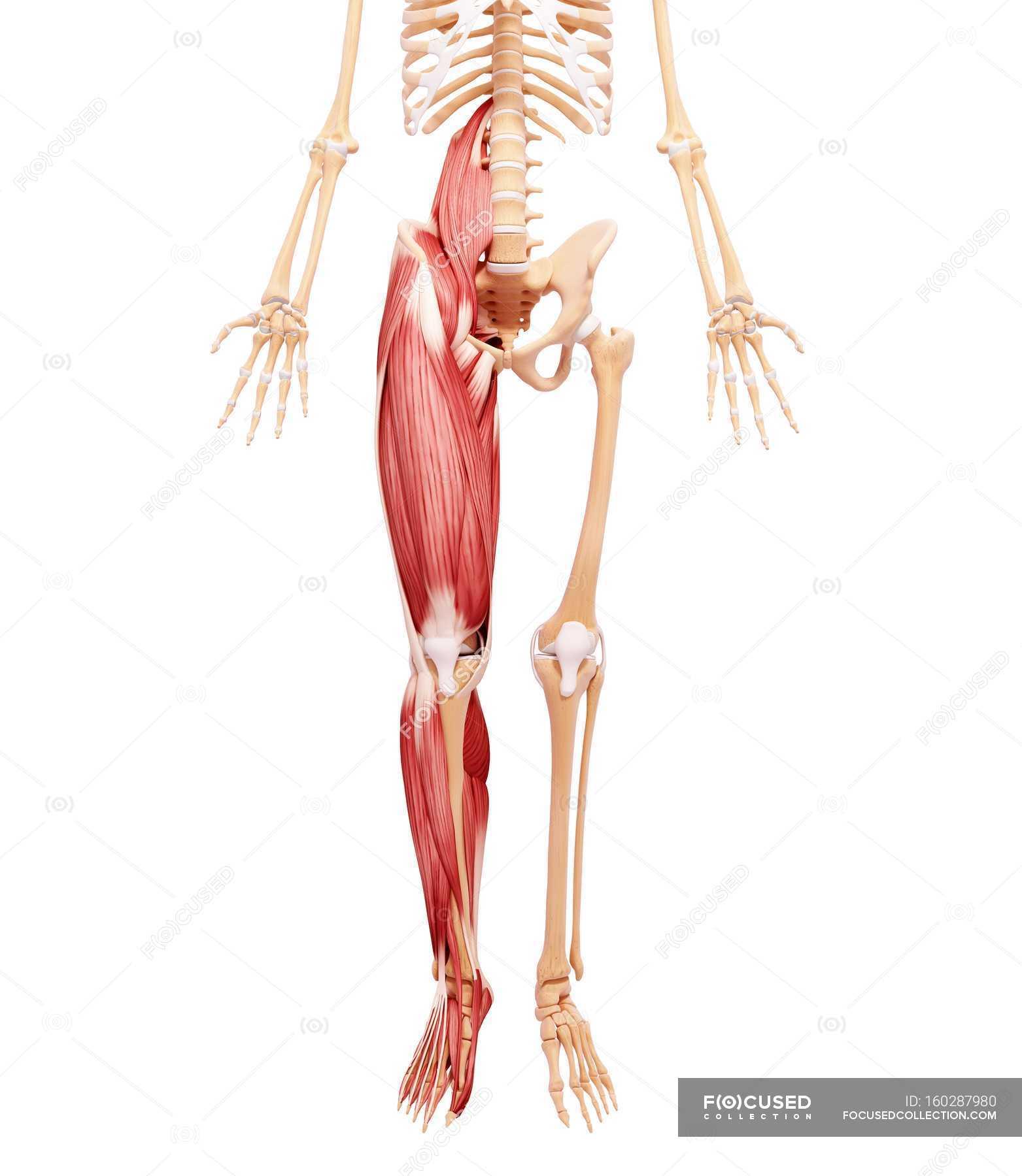 Wunderbar Kalb Anatomie Muskeln Ideen - Menschliche Anatomie Bilder ...