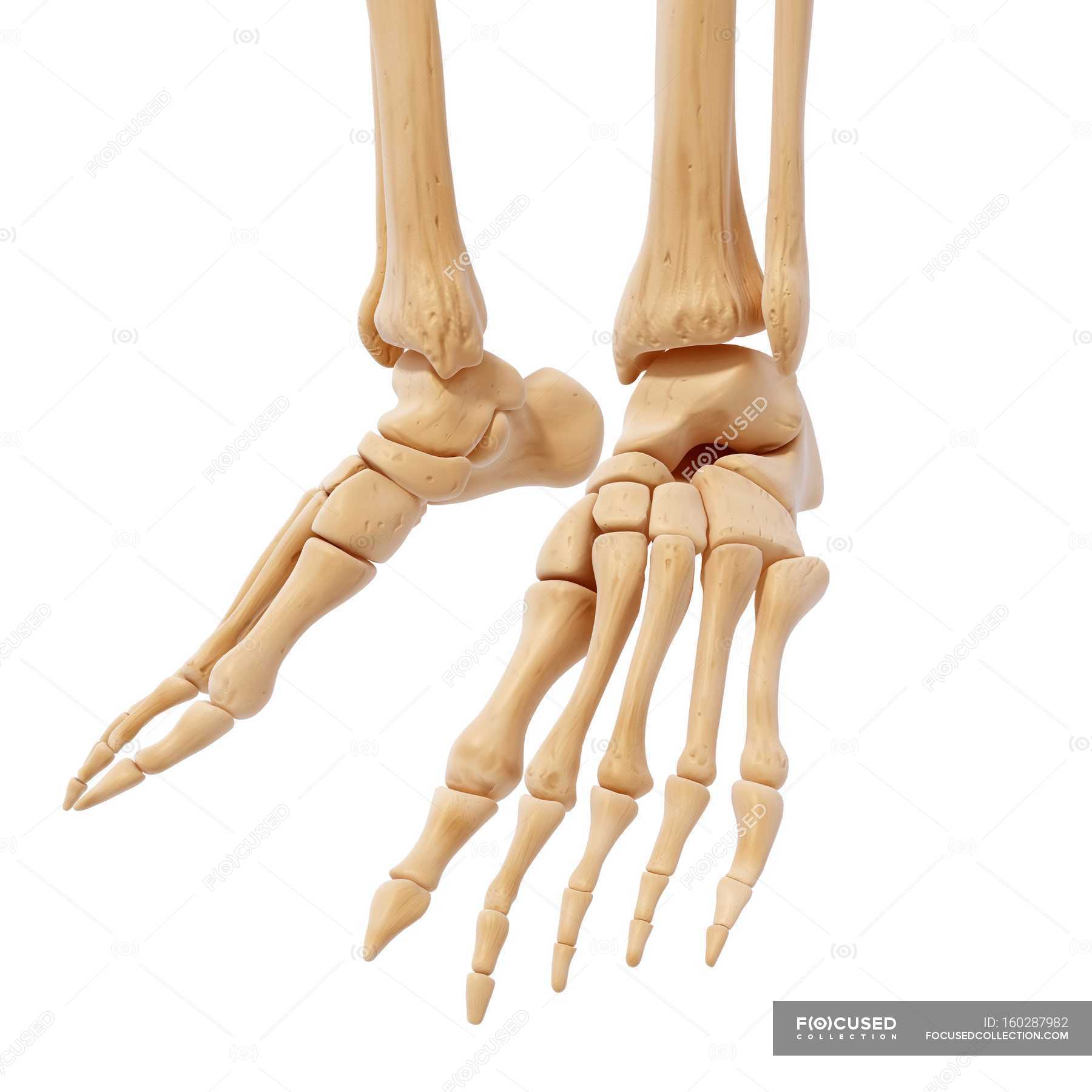 Human Foot Bones Structural Anatomy White Background Human Leg