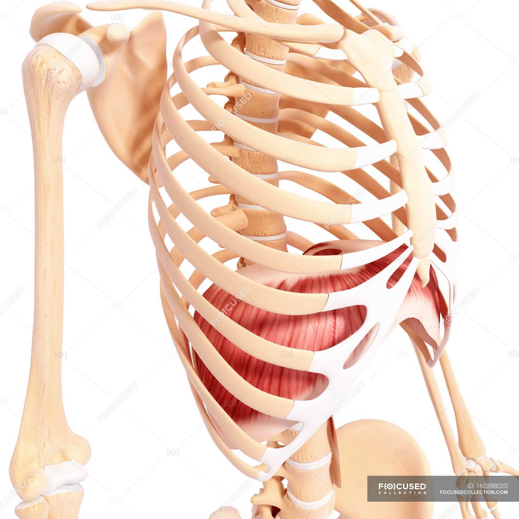 Thoracic Diaphragm Muscles Stock Photo 160288020