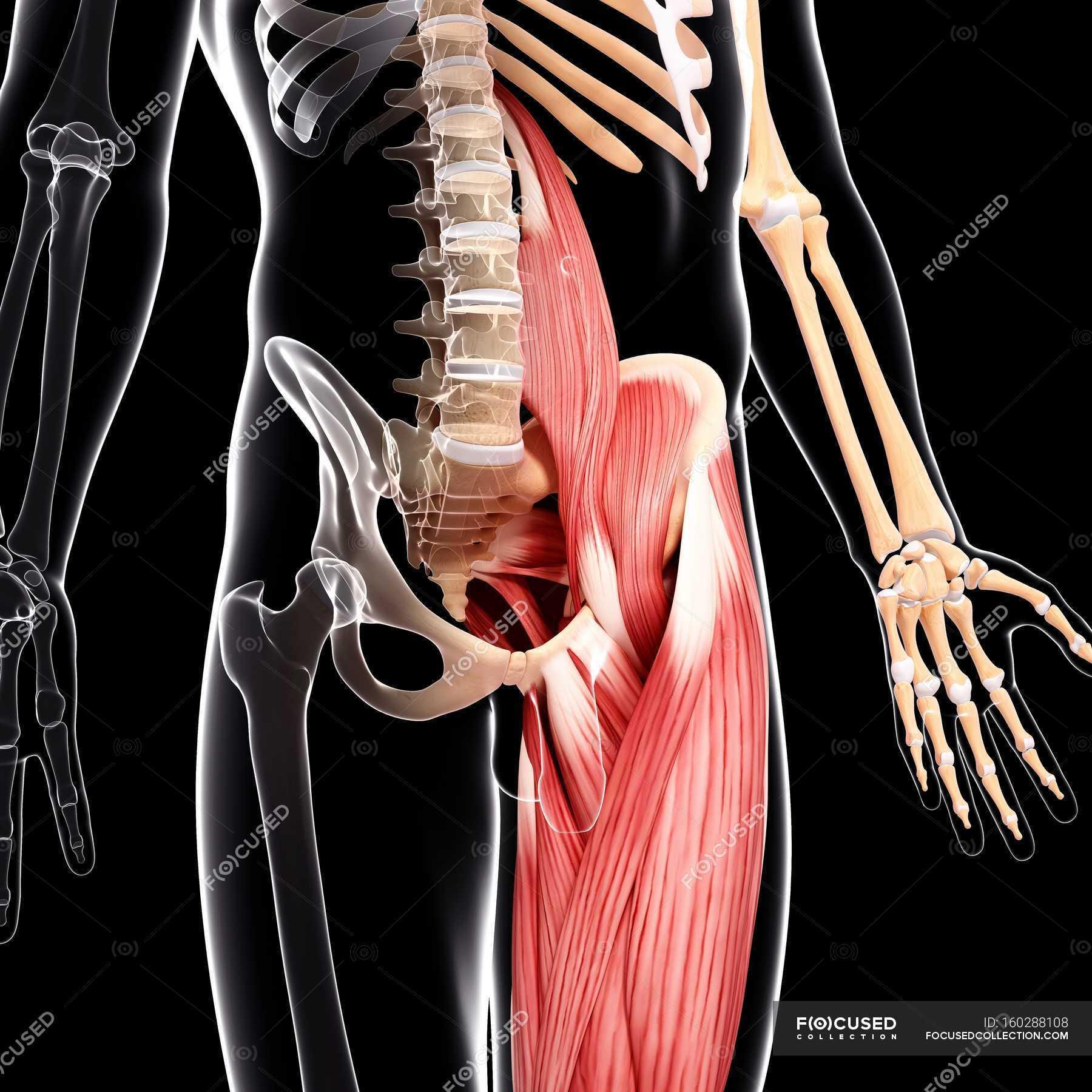 Menschlichen Hüfte Muskulatur — Stockfoto | #160288108