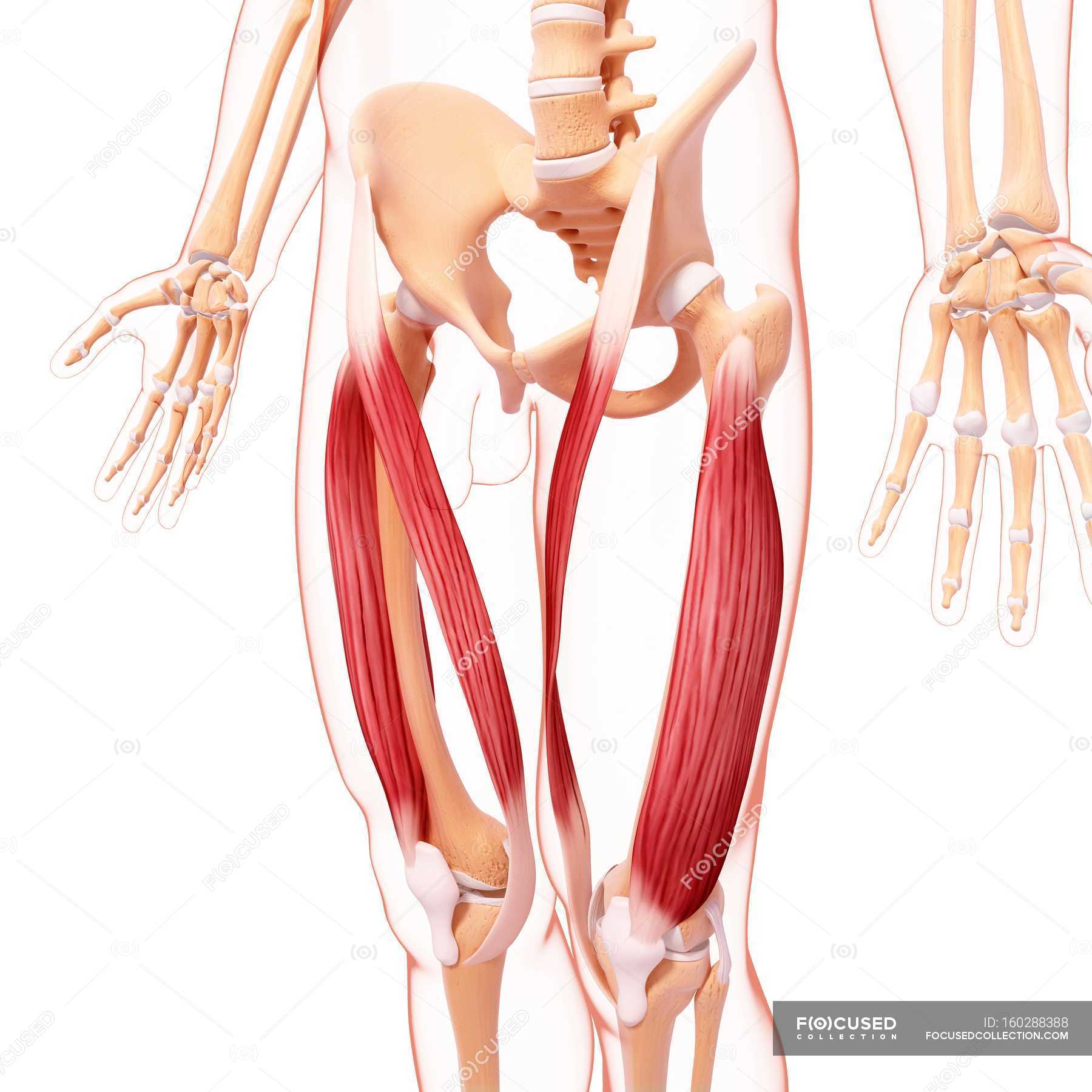 Menschliche Beine Muskulatur — Stockfoto   #160288388
