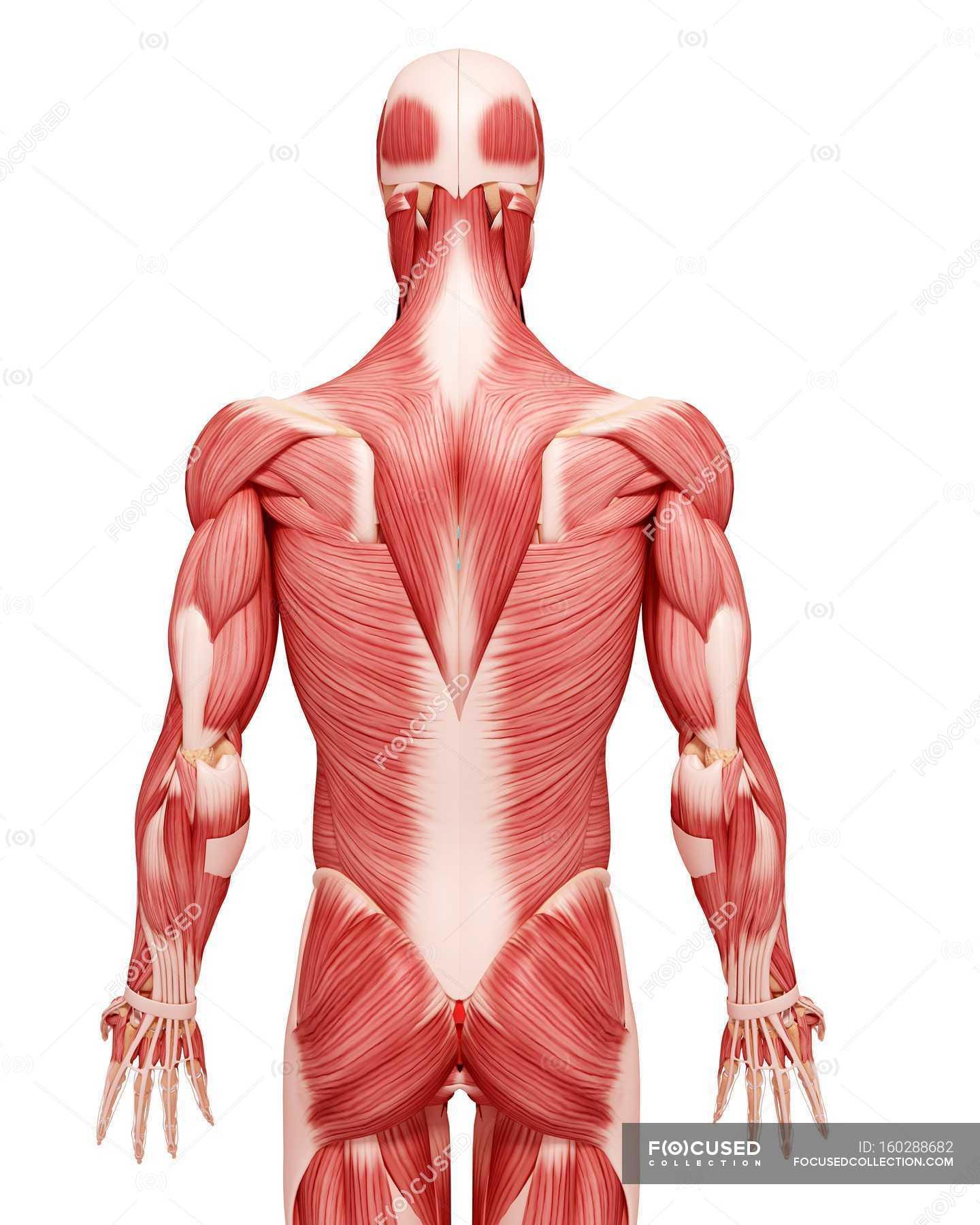 Männliche Muskulatur Anatomie — Stockfoto | #160288682