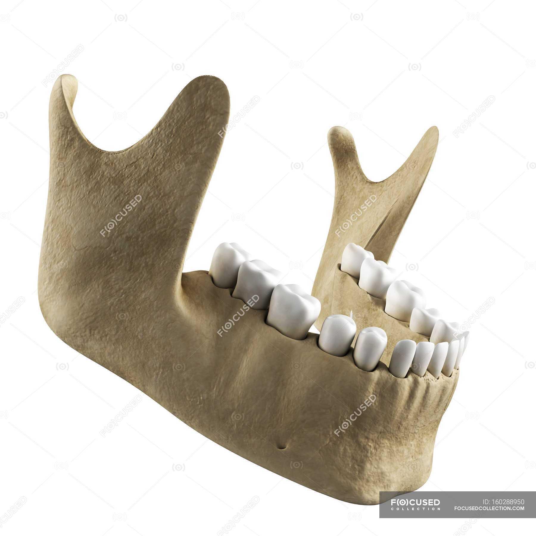 Human Jawbone Anatomy Human Skeleton Medical Illustration Stock