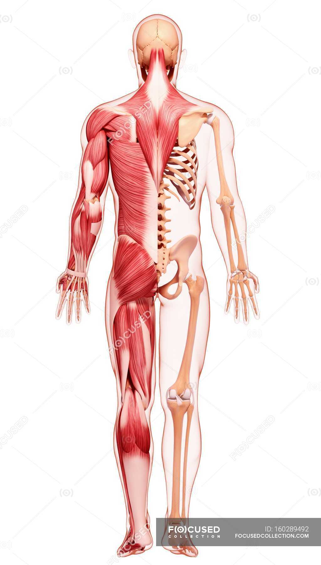 Ausgezeichnet Menschliche Rückenmuskulatur Fotos - Menschliche ...