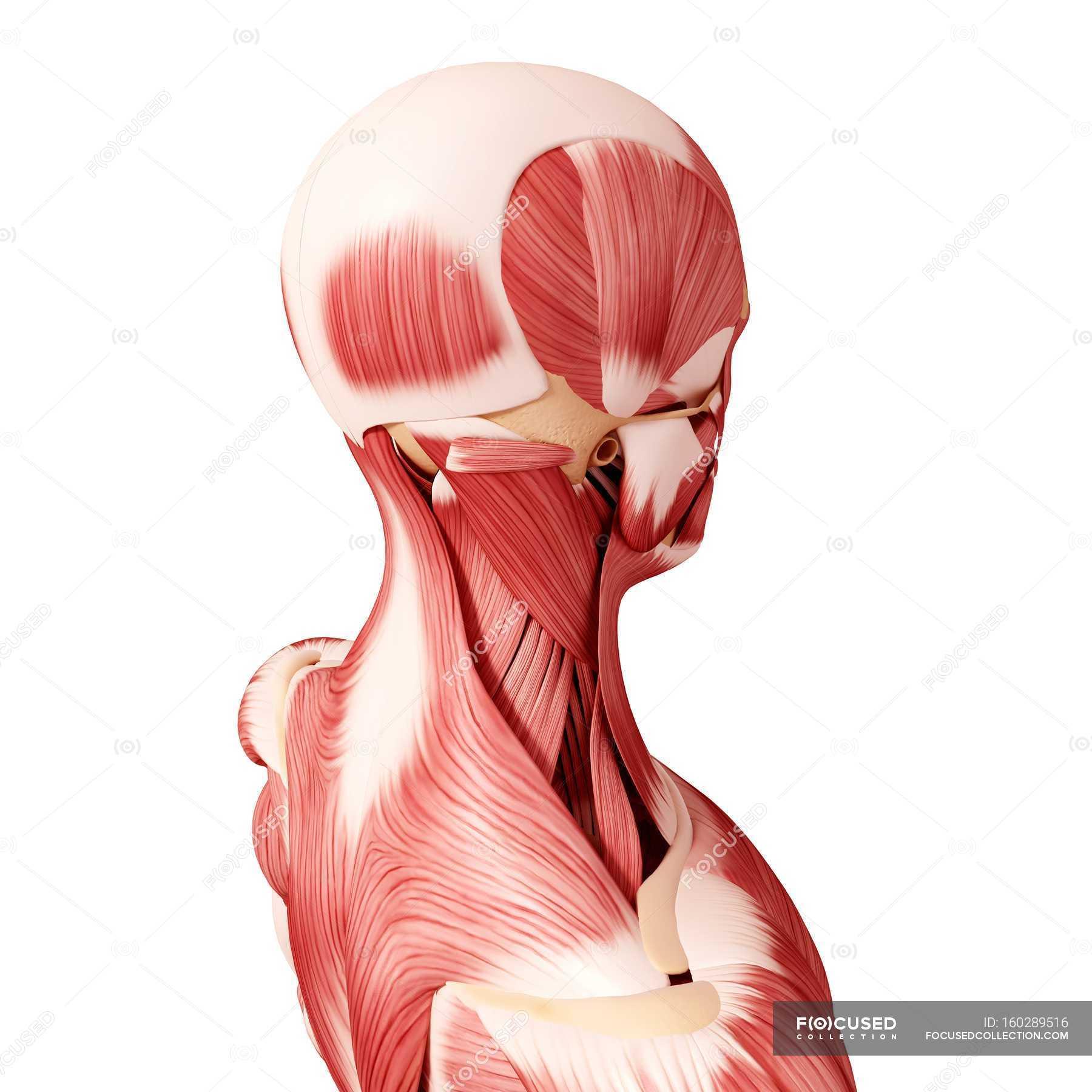 Schön Menschlicher Kopf Anatomie Ideen - Physiologie Von ...