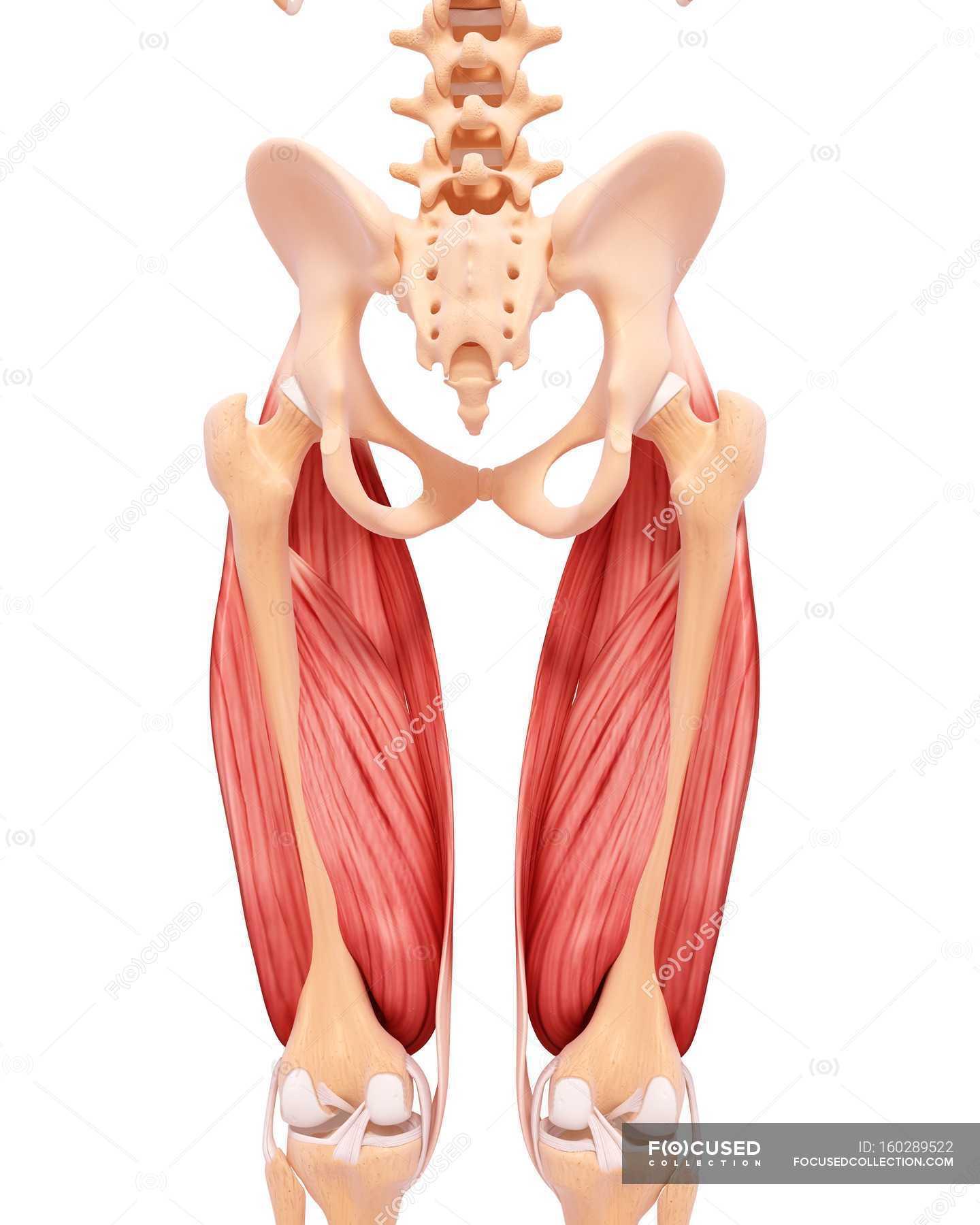 Menschliche Beine Muskulatur — Stockfoto | #160289522